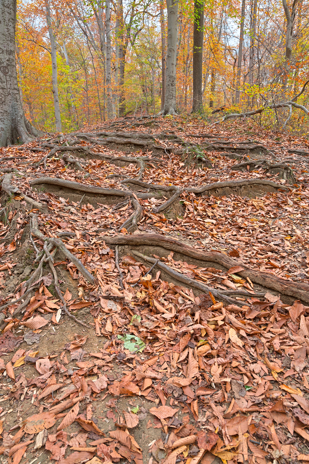 Autumn Avalon Trail - HDR, Scene, Scenery, Roots, Root, HQ Photo