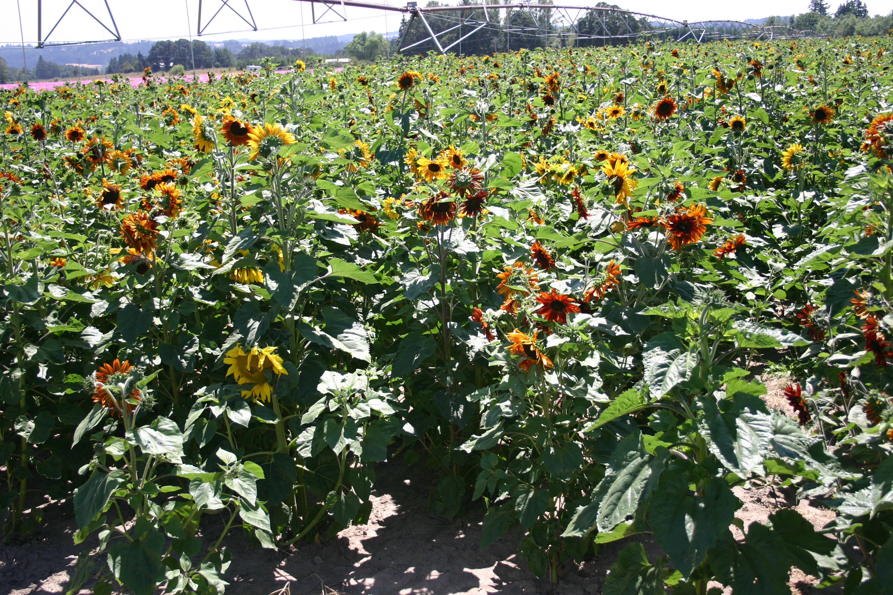 Sunflower - Autumn Beauty - Oregon Wholesale Seed Company