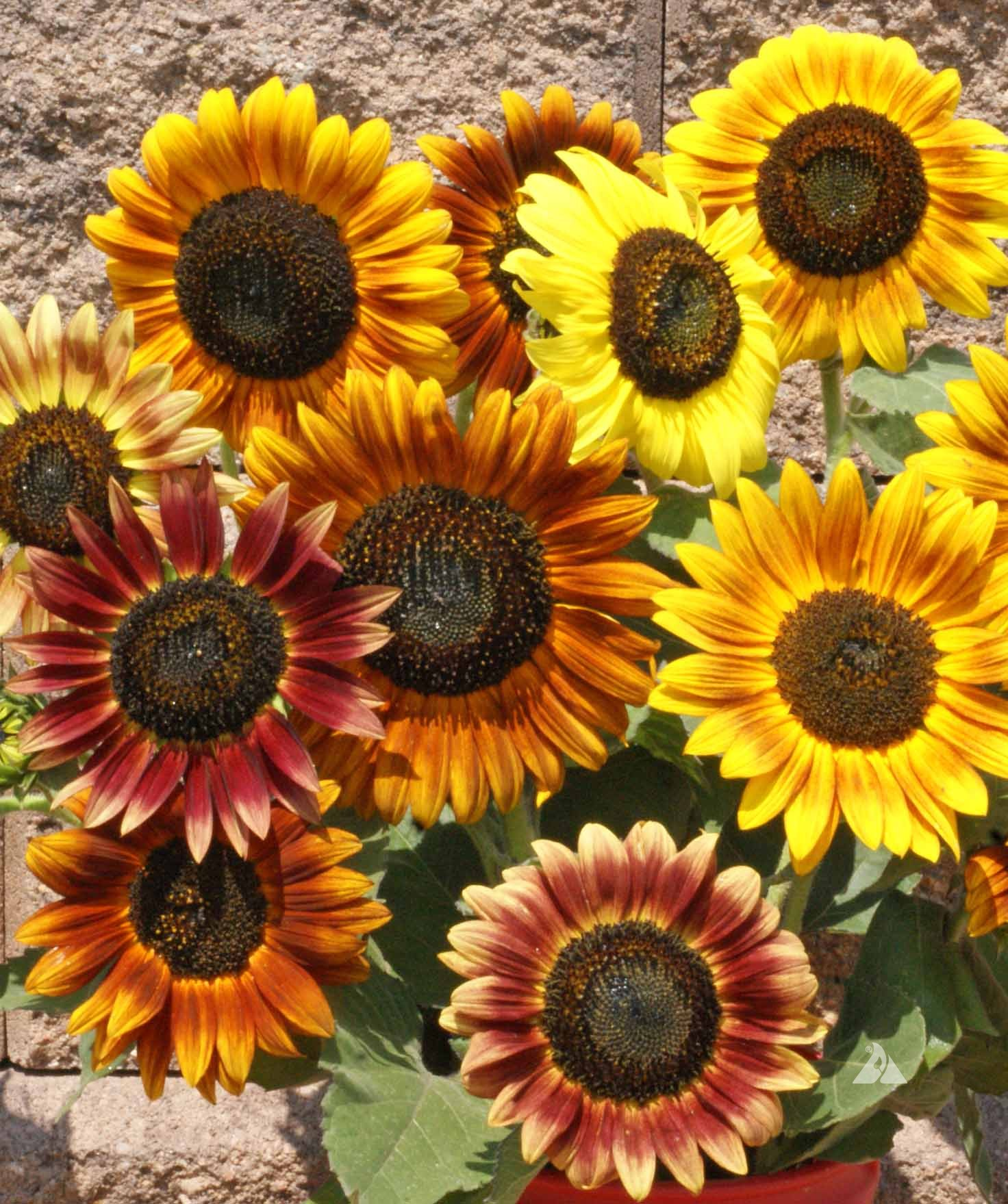 Ferry Morse Fm Foil Sunflower Autumn Beauty - Walmart.com