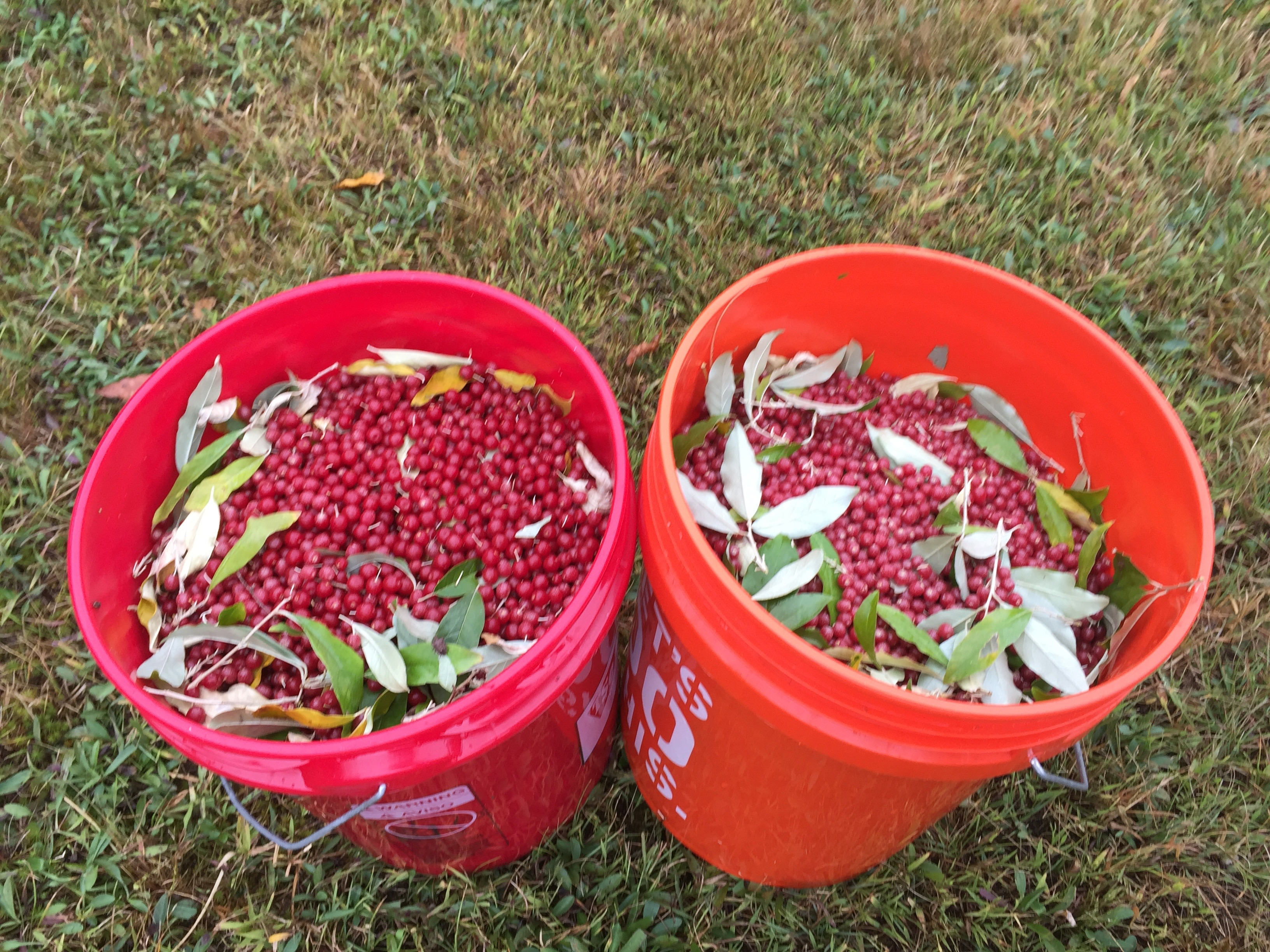 Wild Food Profile: Autumn Olive / Autumn Berry (Elaeagnus umbellata ...