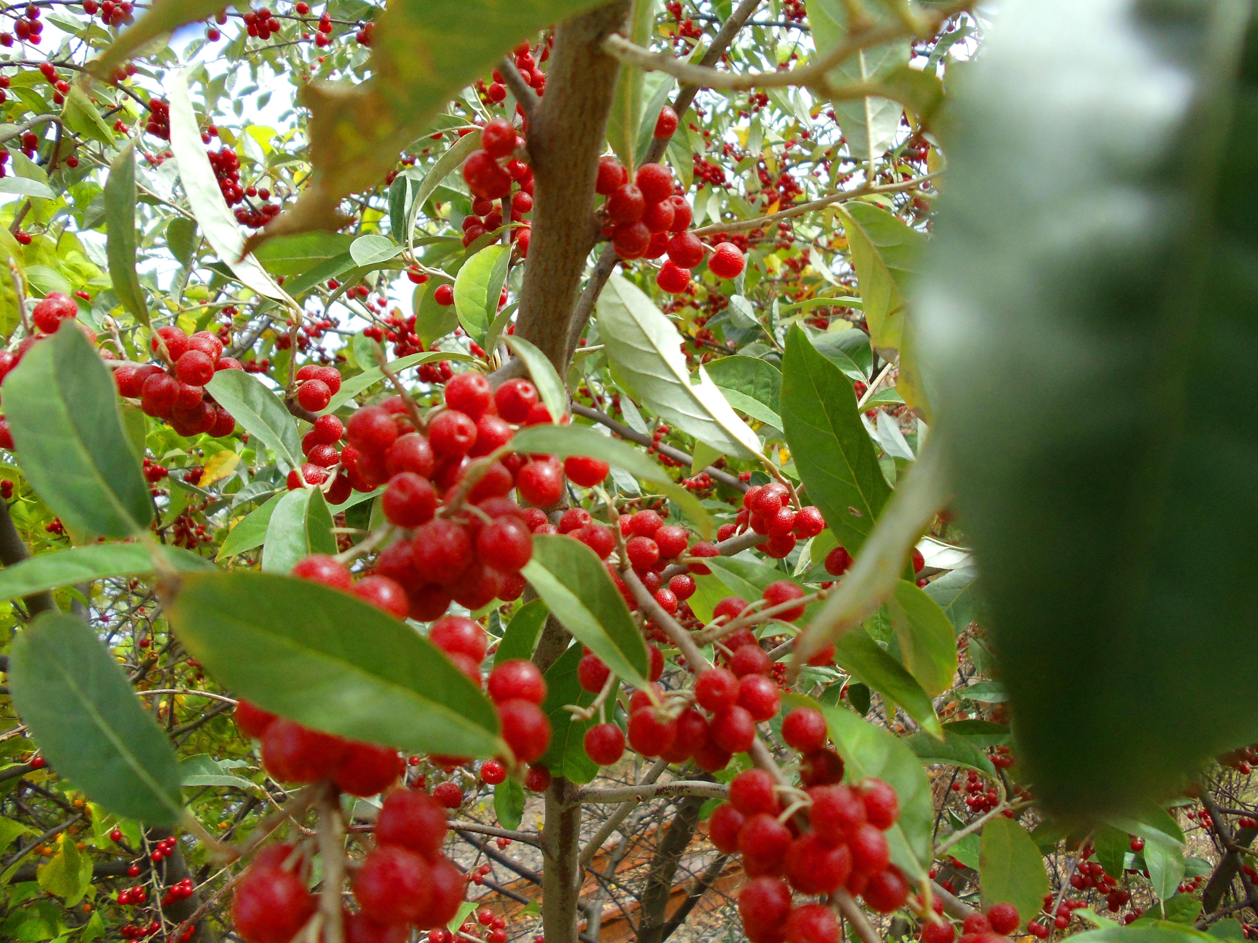 Flowering Autumn-Olive | Forageporage's Blog