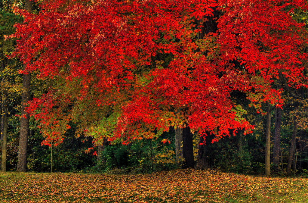 Autumn colors, Autumn, Maple, Turning, Tree, HQ Photo