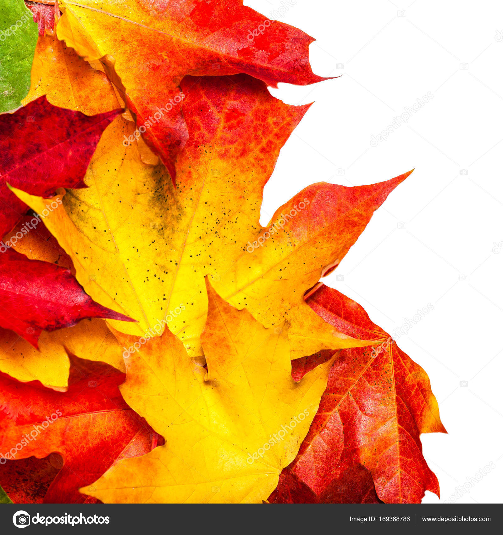 Autumn Composition Maple Leaves Isolated White Background Beautiful ...