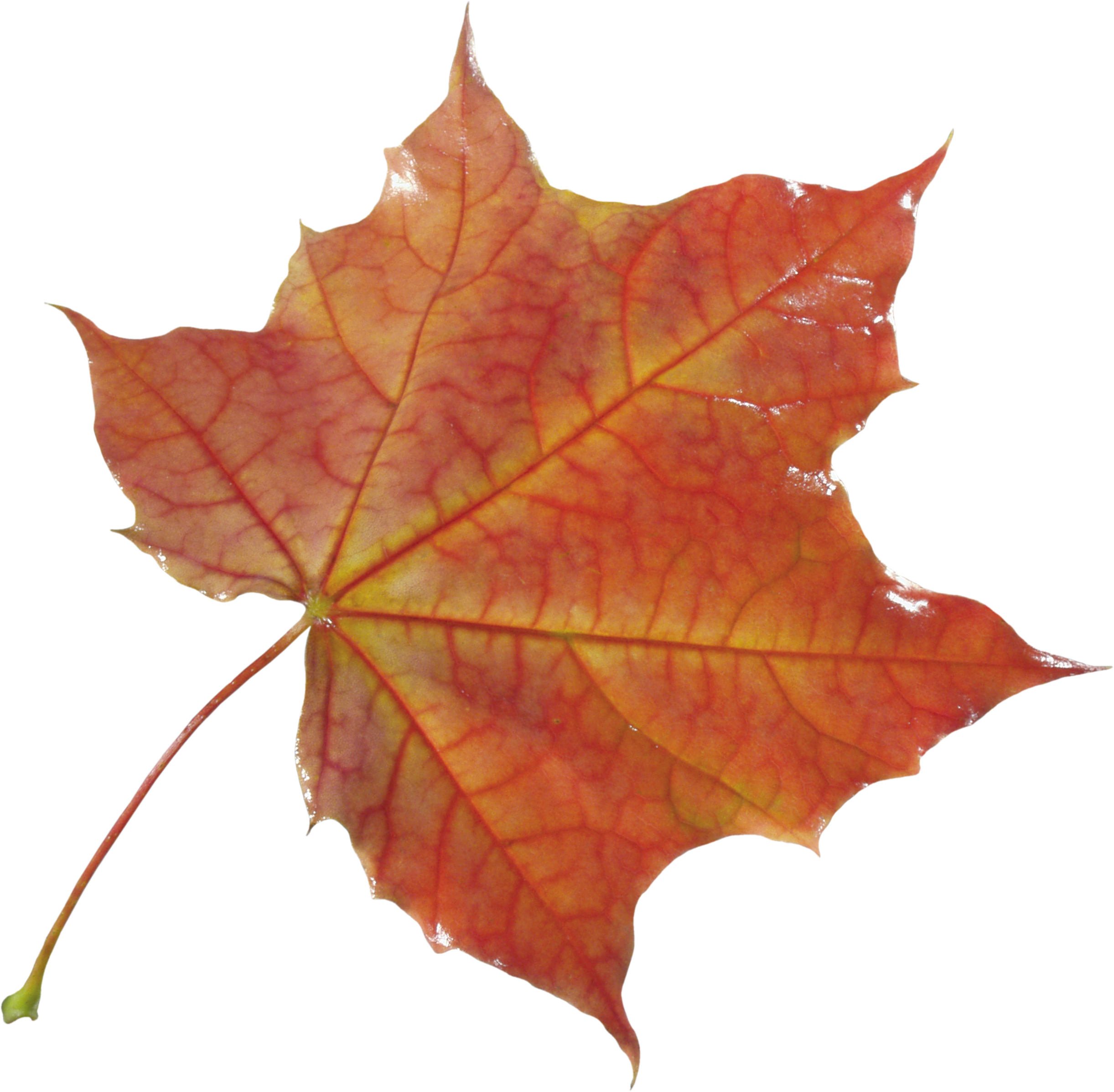 Autumn Leaf PNG Image - PurePNG | Free transparent CC0 PNG Image Library