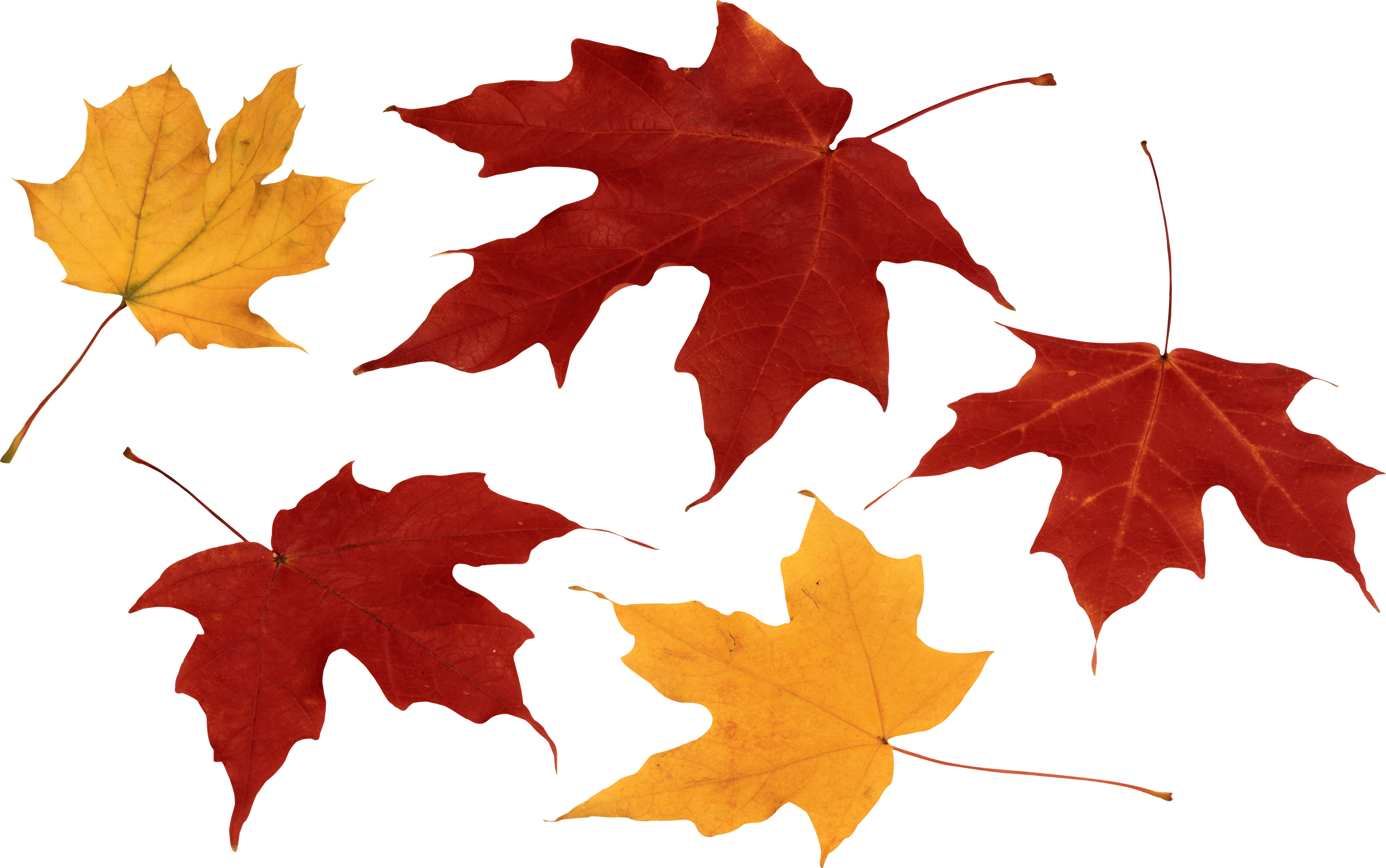 Red Autumn Leaf PNG Image - PurePNG | Free transparent CC0 PNG Image ...