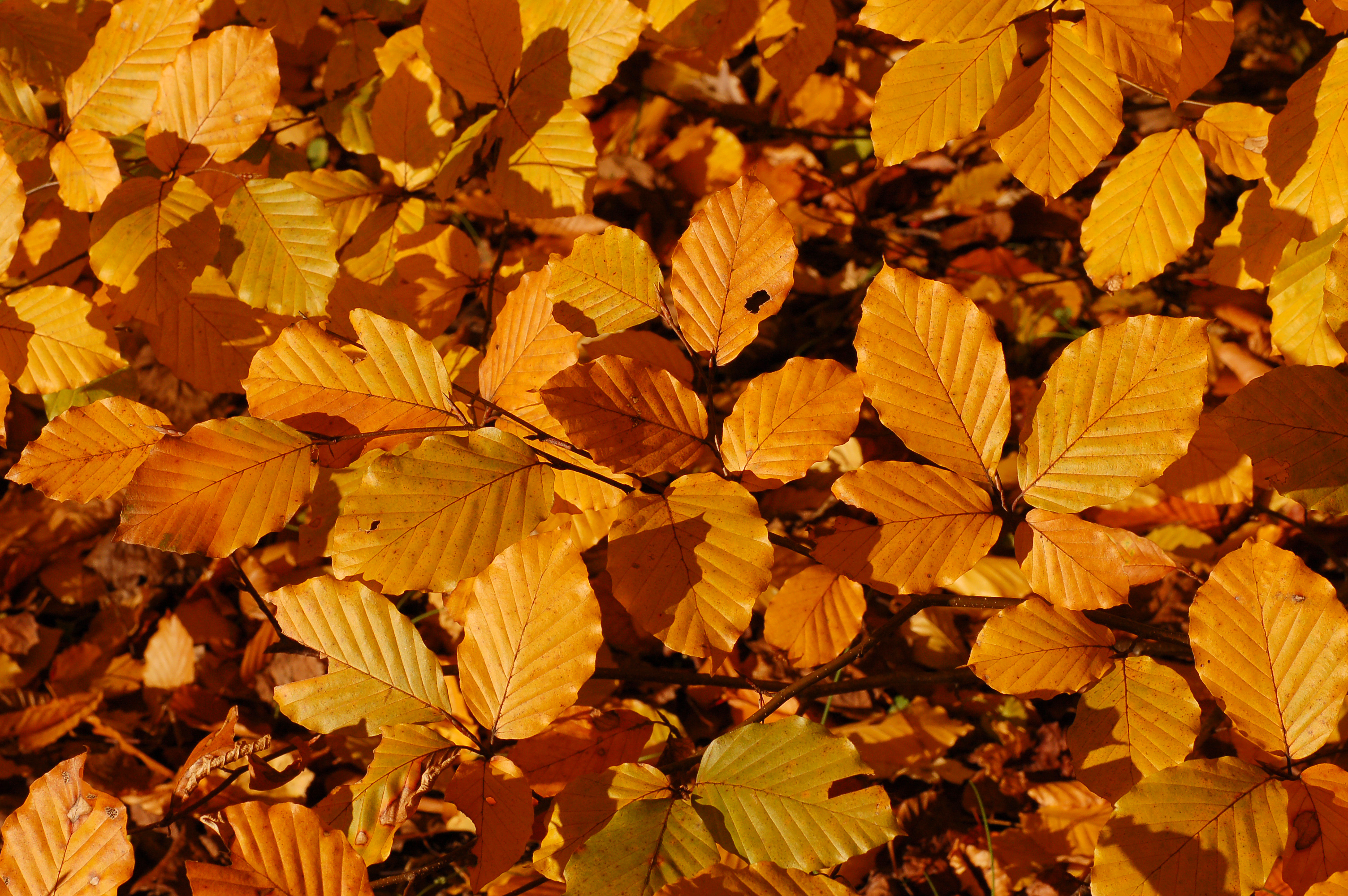 File:Copper Beech Fagus sylvatica f. purpurea Autumn Leaves Closeup ...