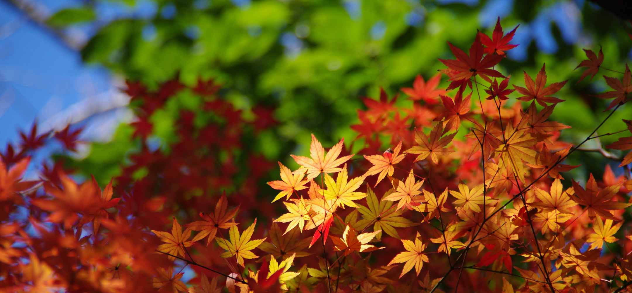 Momiji autumn leaves - Experience Japan | Inside Japan Tours