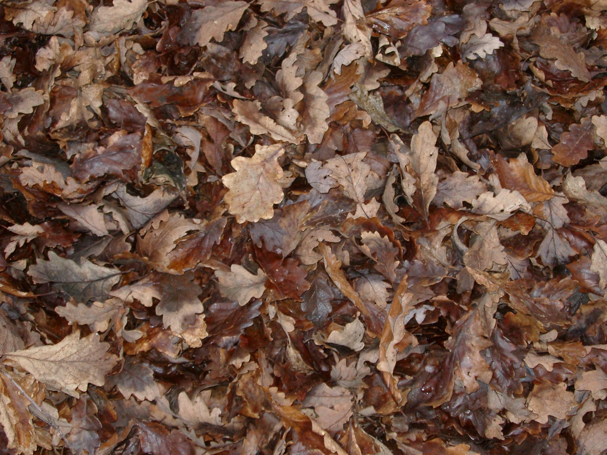 Autumn leaves, Autumn, Backdrop, Brown, Crisp, HQ Photo