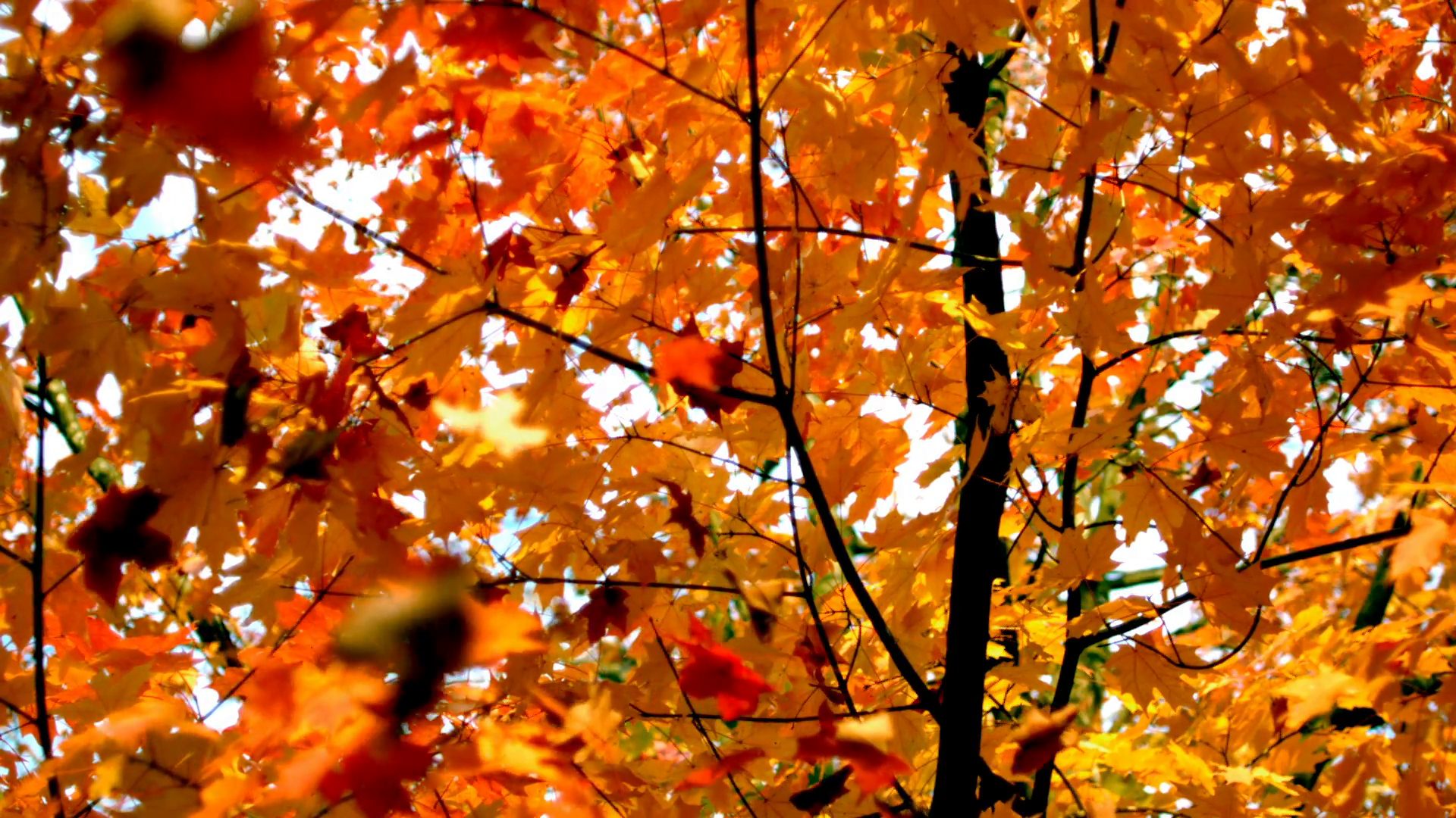 Slow Motion Autumn Leaves Falling 2 Stock Video Footage - Videoblocks