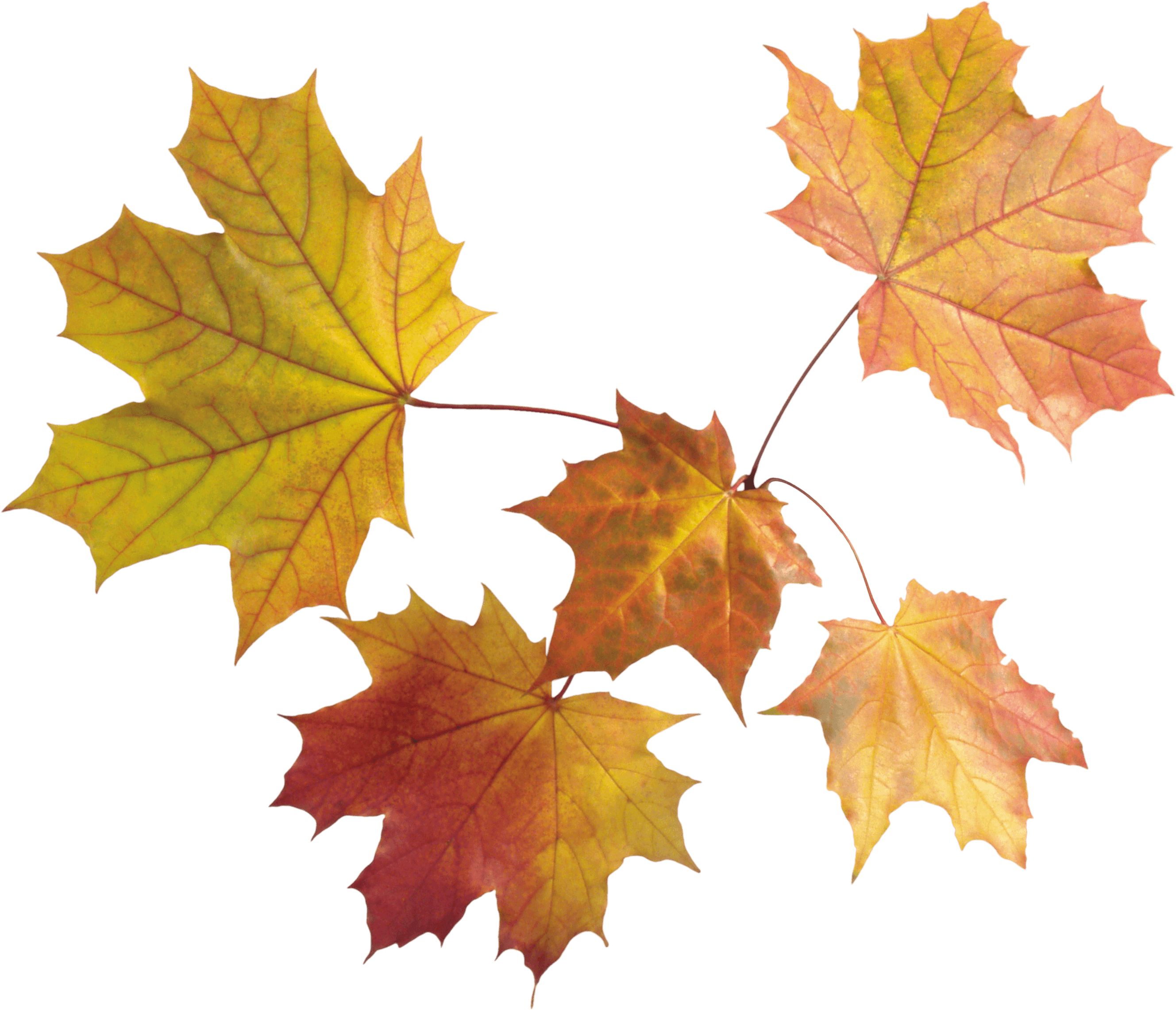 Download Autumn Leaves Free PNG photo images and clipart | FreePNGImg