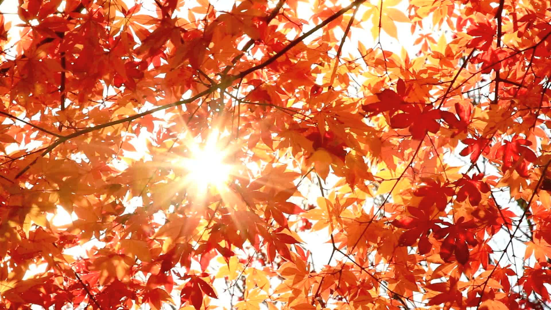 Sun shining through autumn leaves. ~ Video Clip #12614022