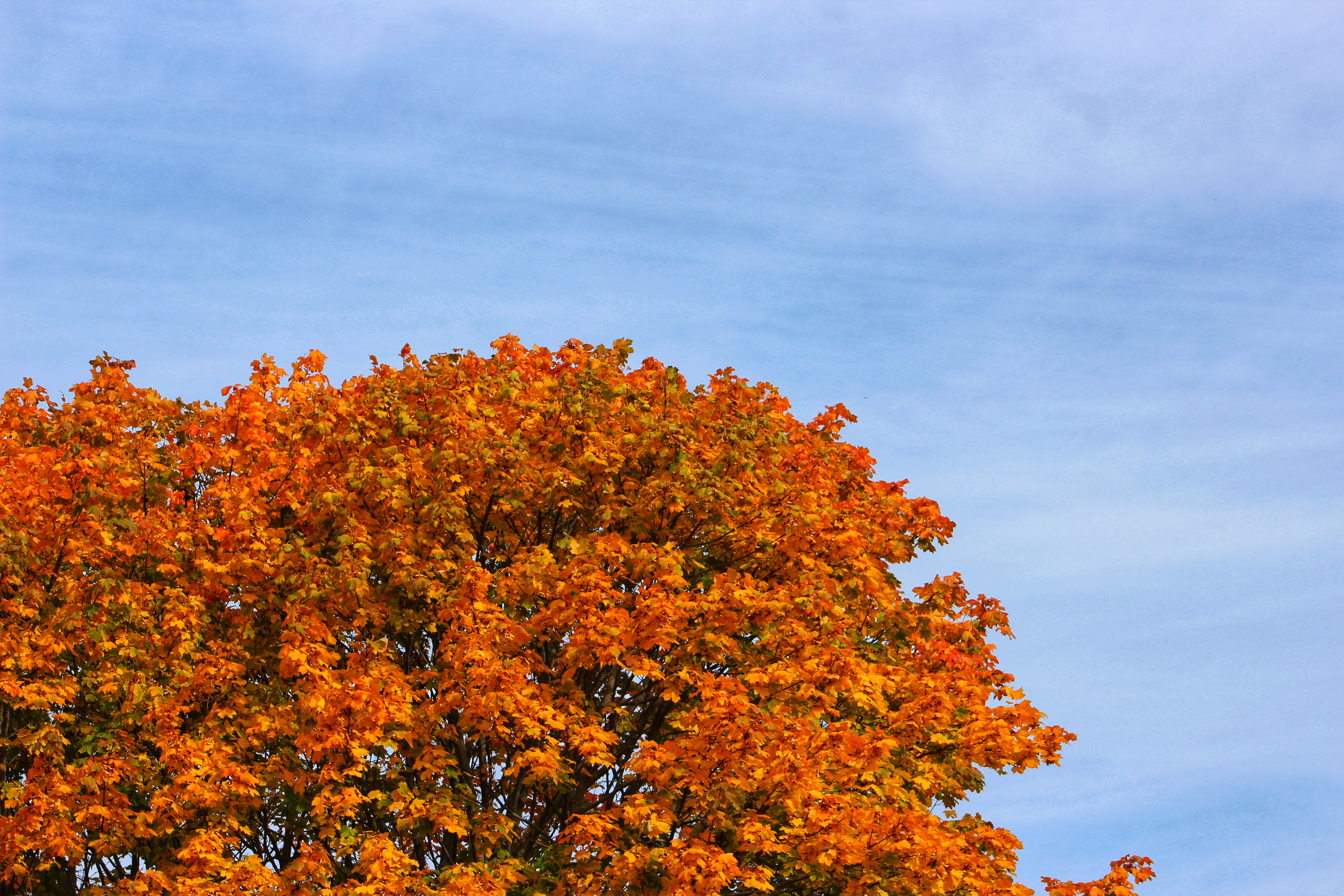 Autumn Leaves in Ontario, Park, Sky, Tree, Ontario, HQ Photo