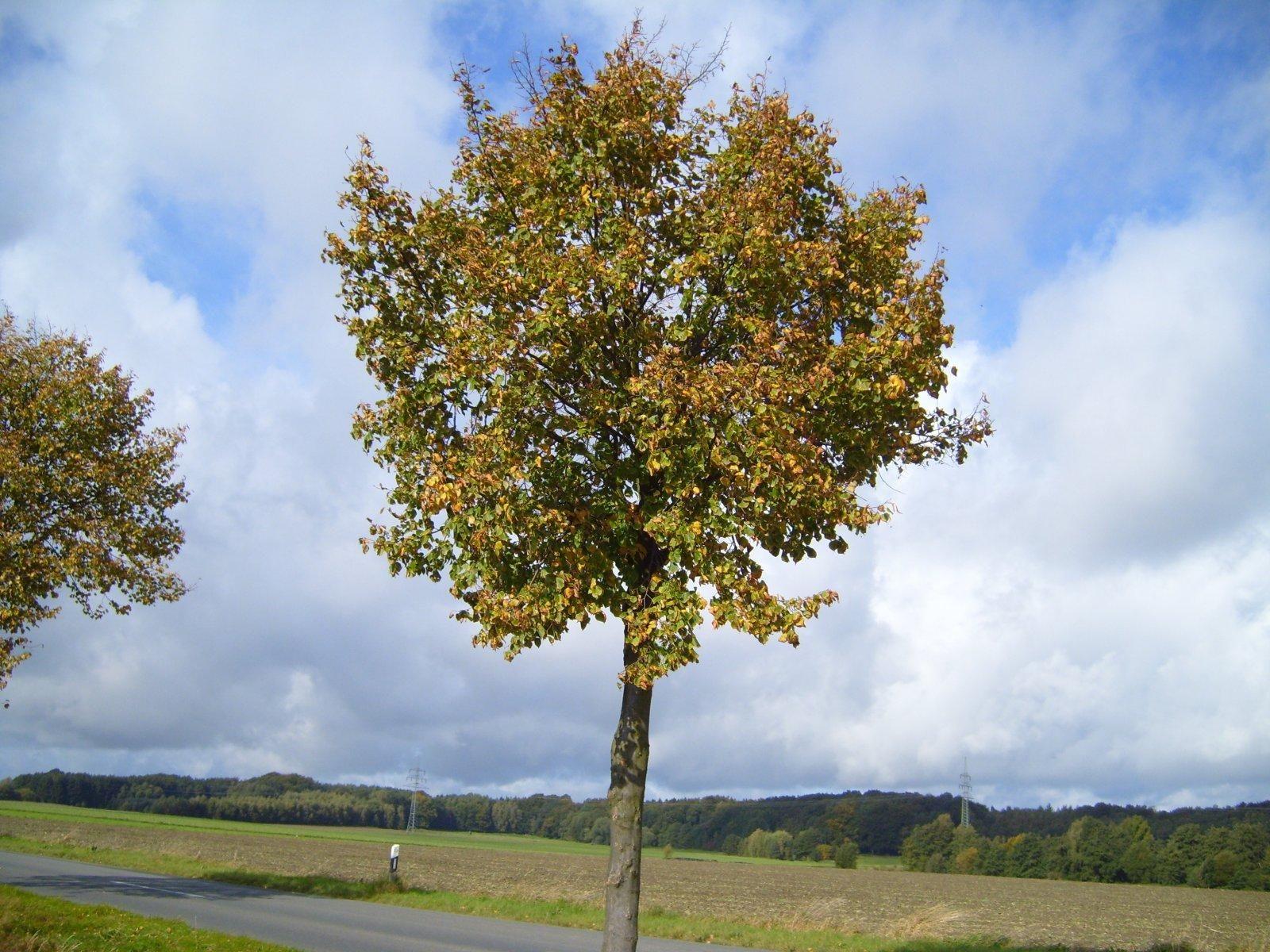 File:Autumn linden tree.jpg - Wikimedia Commons