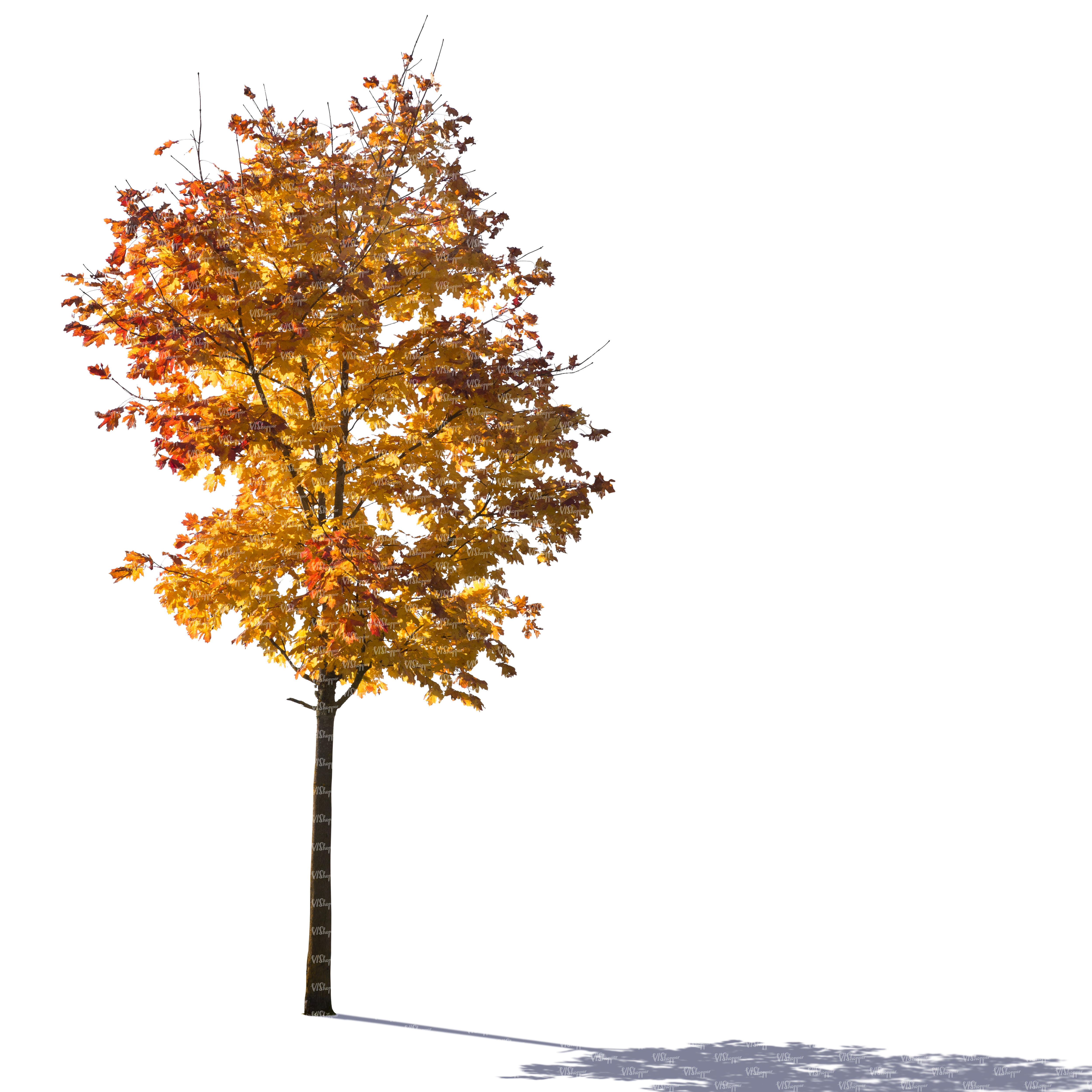 cut out backlit maple tree in autumn - cut out trees and plants ...