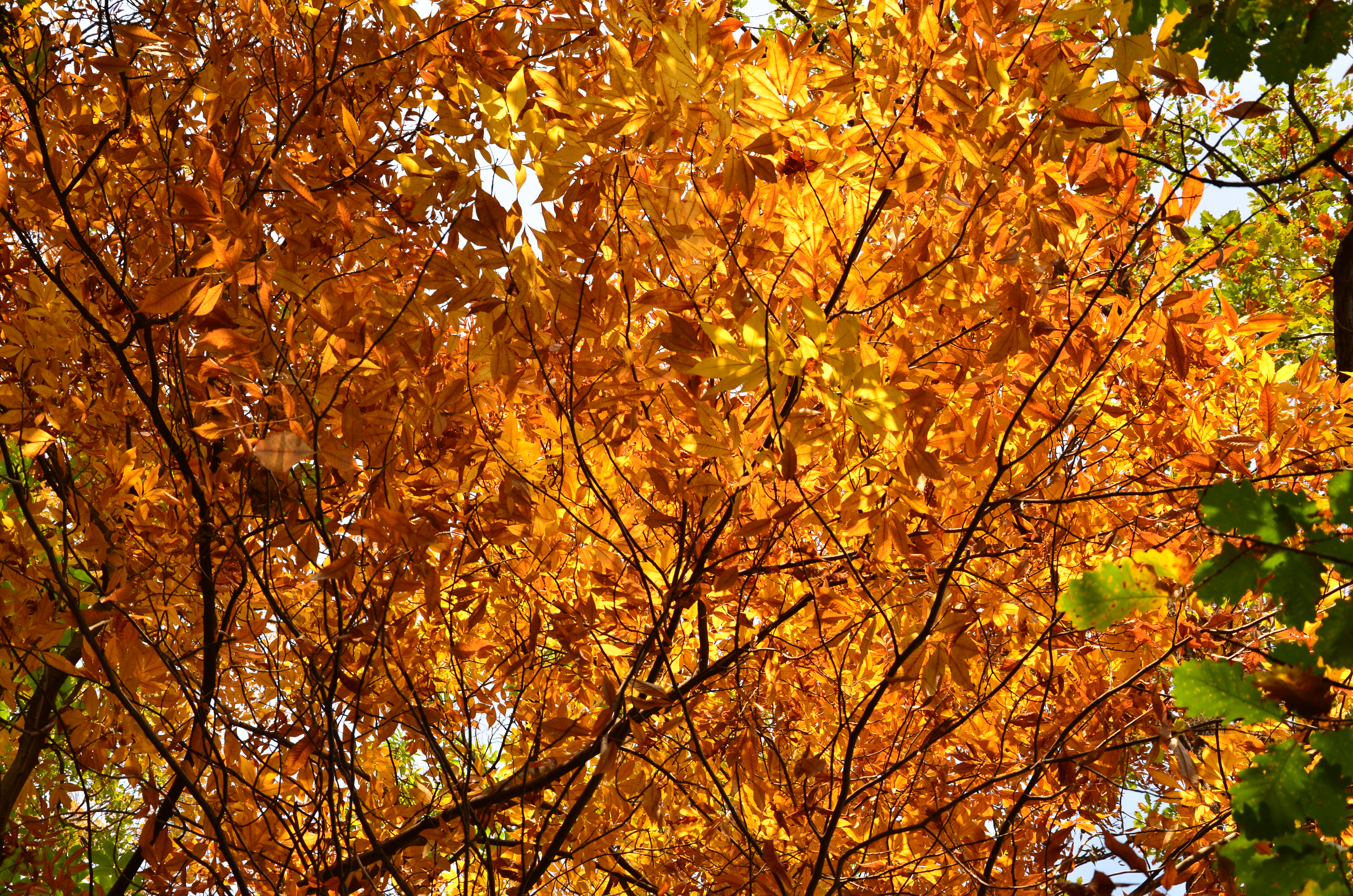 Autumn tree, Autumn, Leaf, Orange, HQ Photo