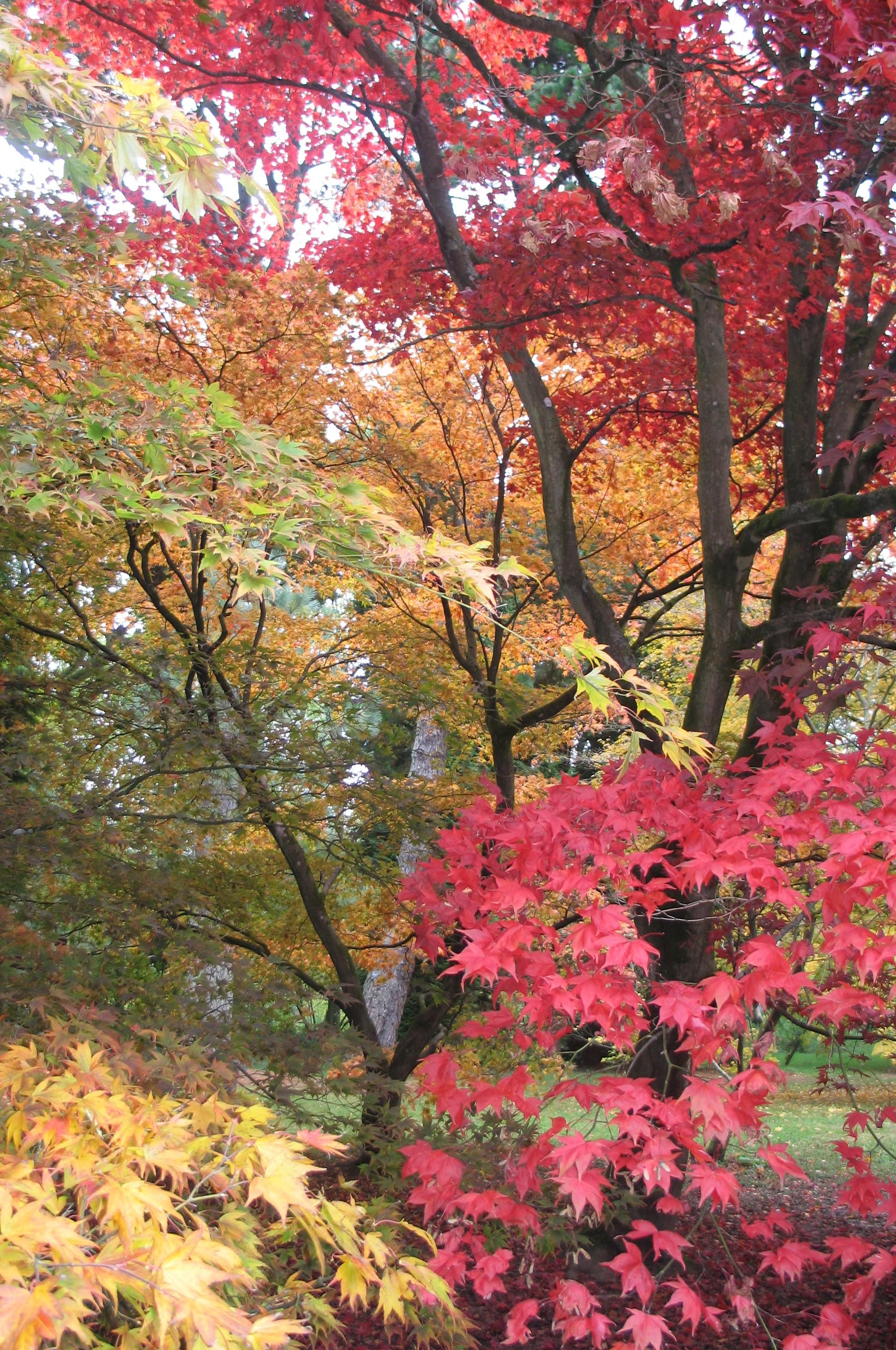Autumn Acers | Karen Tizzard Garden Design