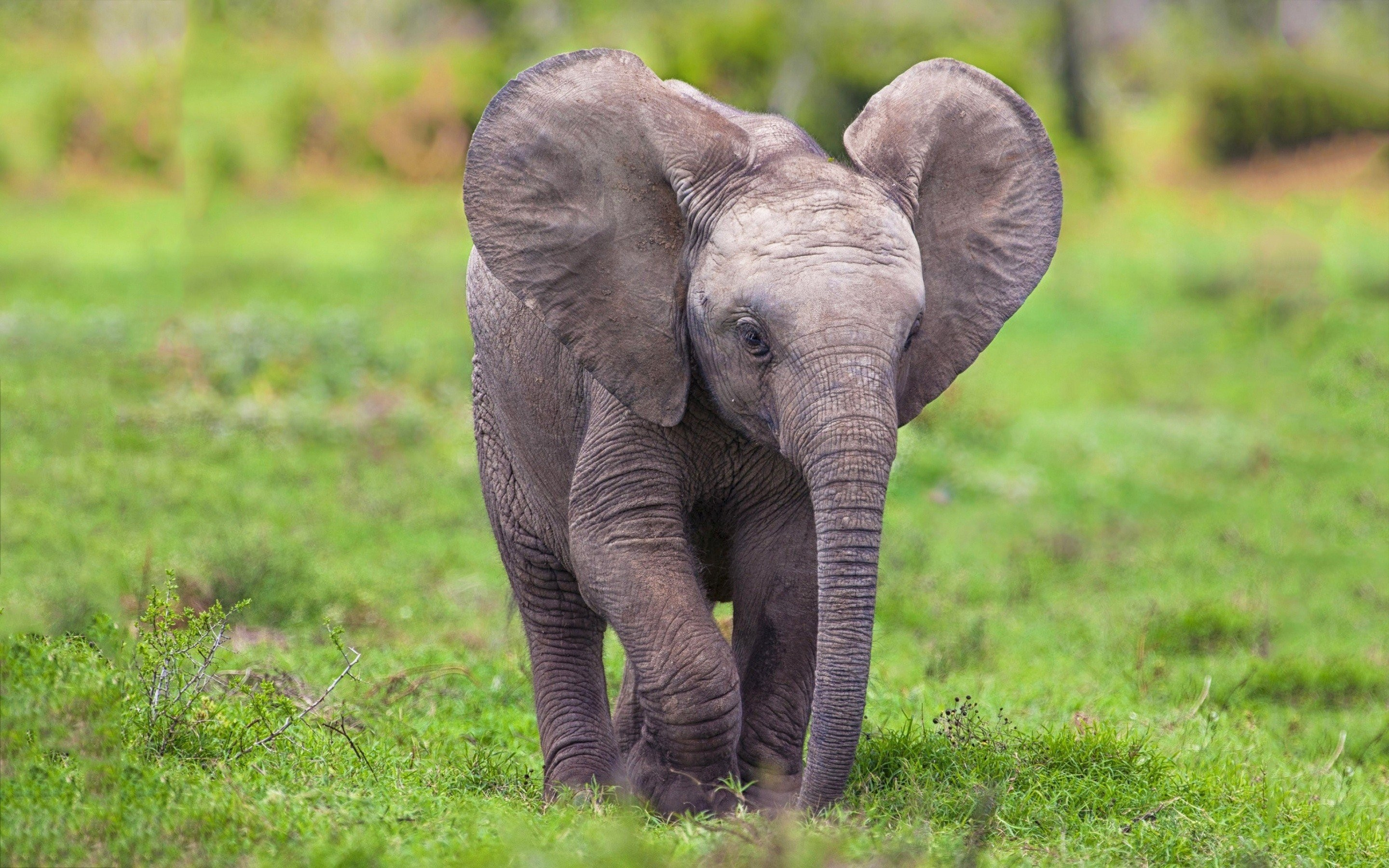 Free photo: Baby African Elephant - Africa, African ...