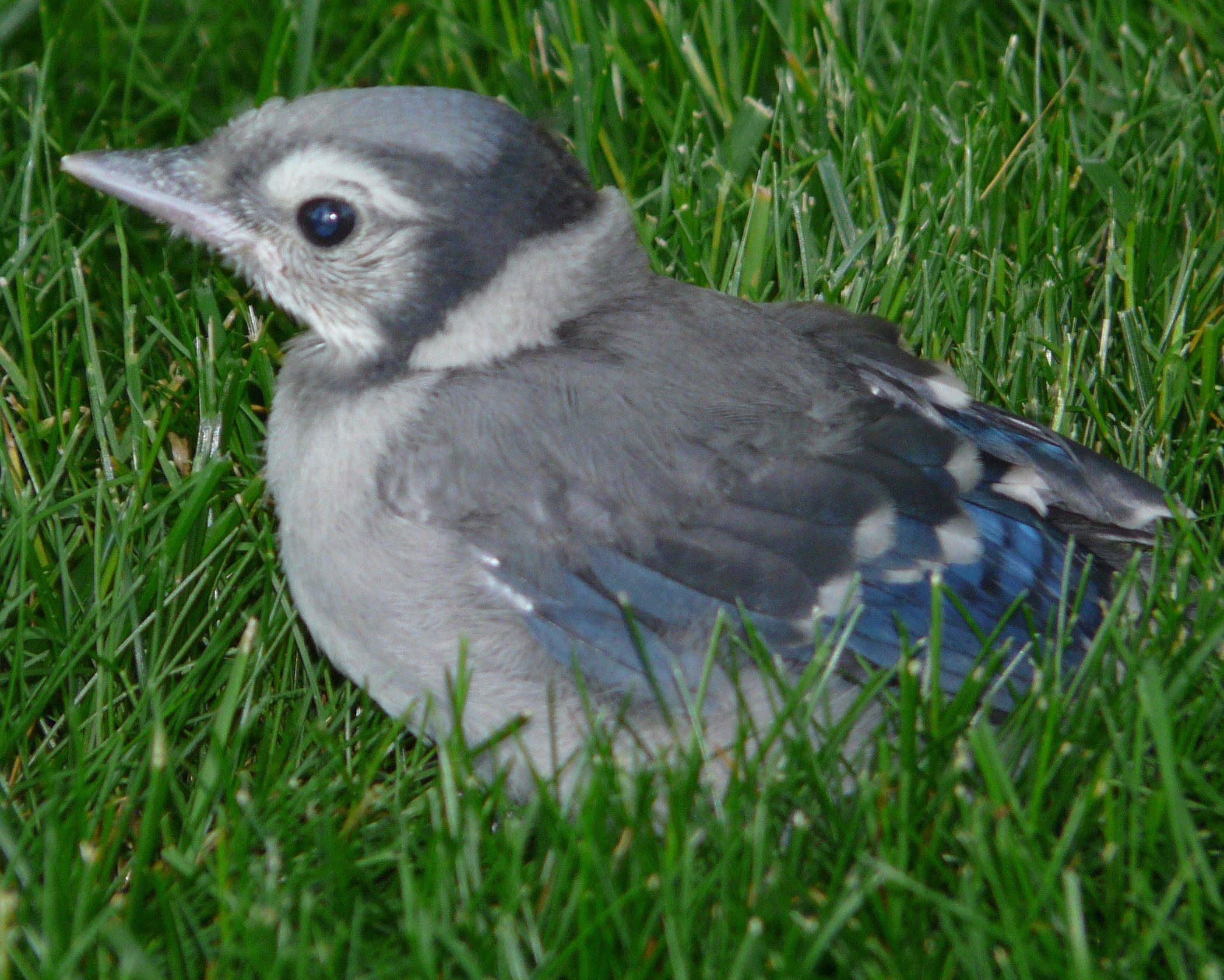 File:Baby Blue Jay (4202633835).jpg - Wikimedia Commons