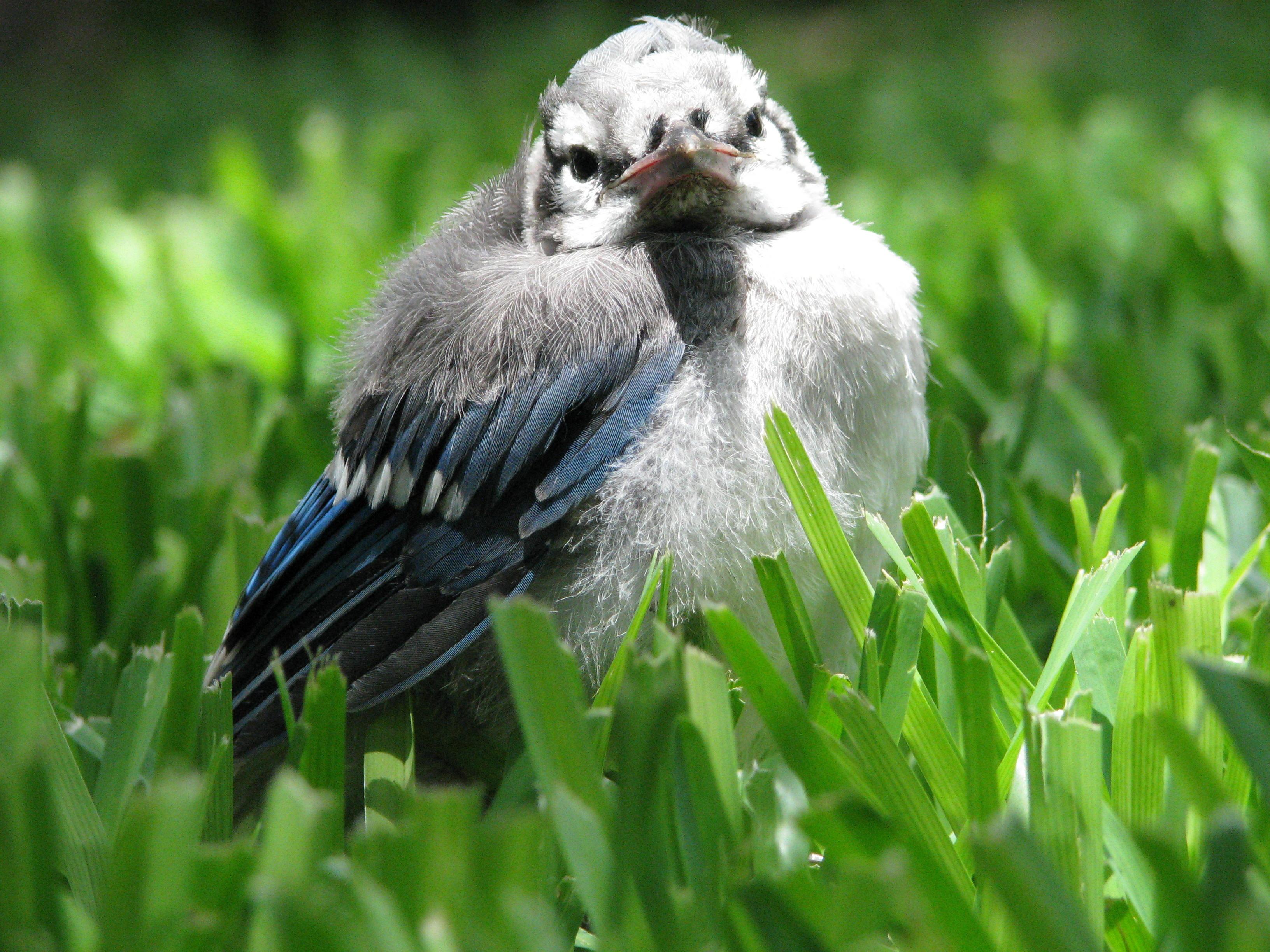 Baby Blue Jay, Animal, Baby, Bird, Blue, HQ Photo