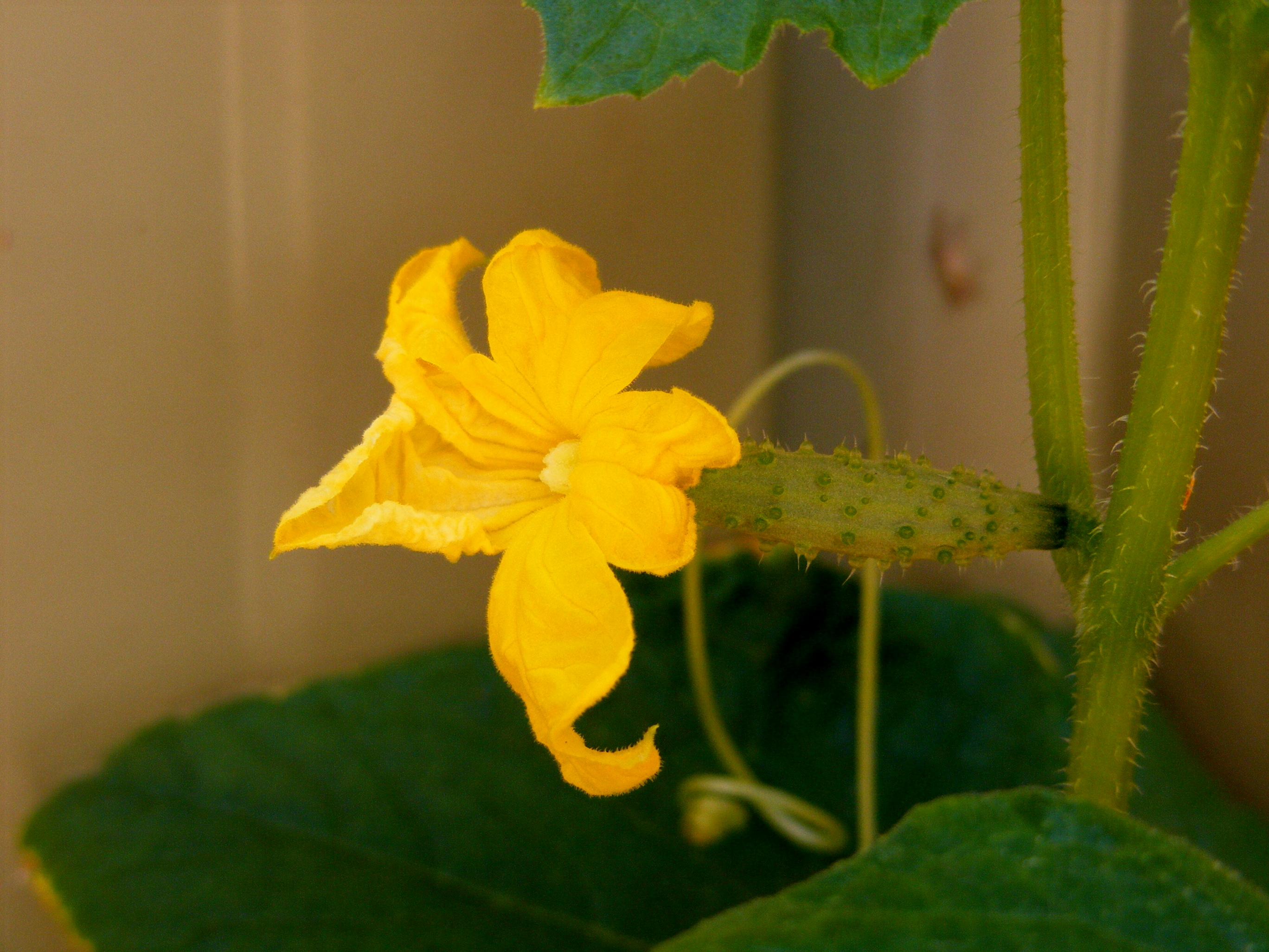 Free Photo Baby Cucumber Plant Vegetable Yellow Free Download