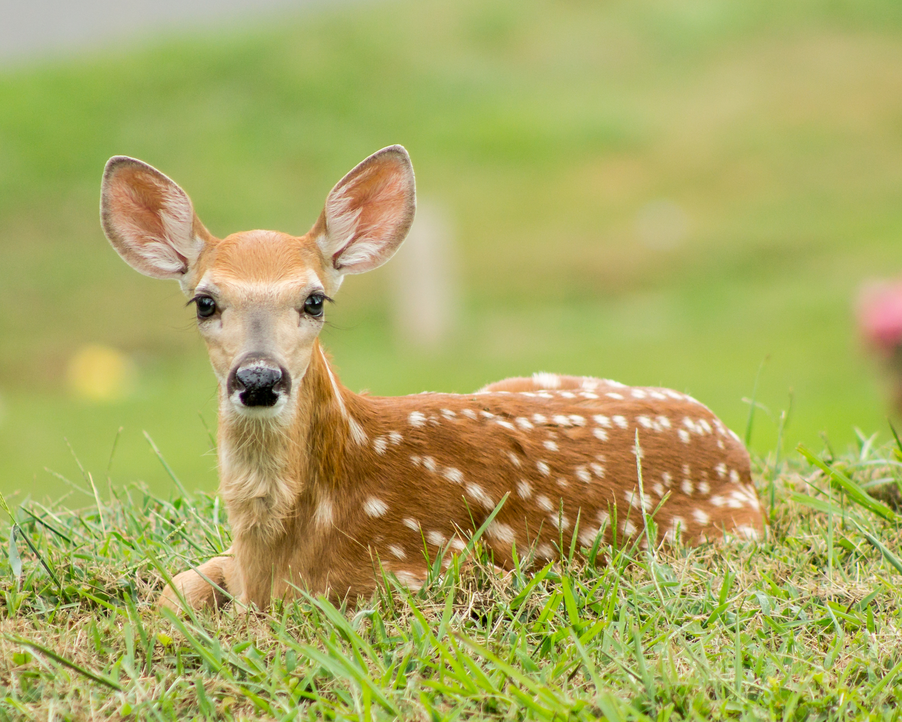 A baby deer let me get up close and personal today - Imgur