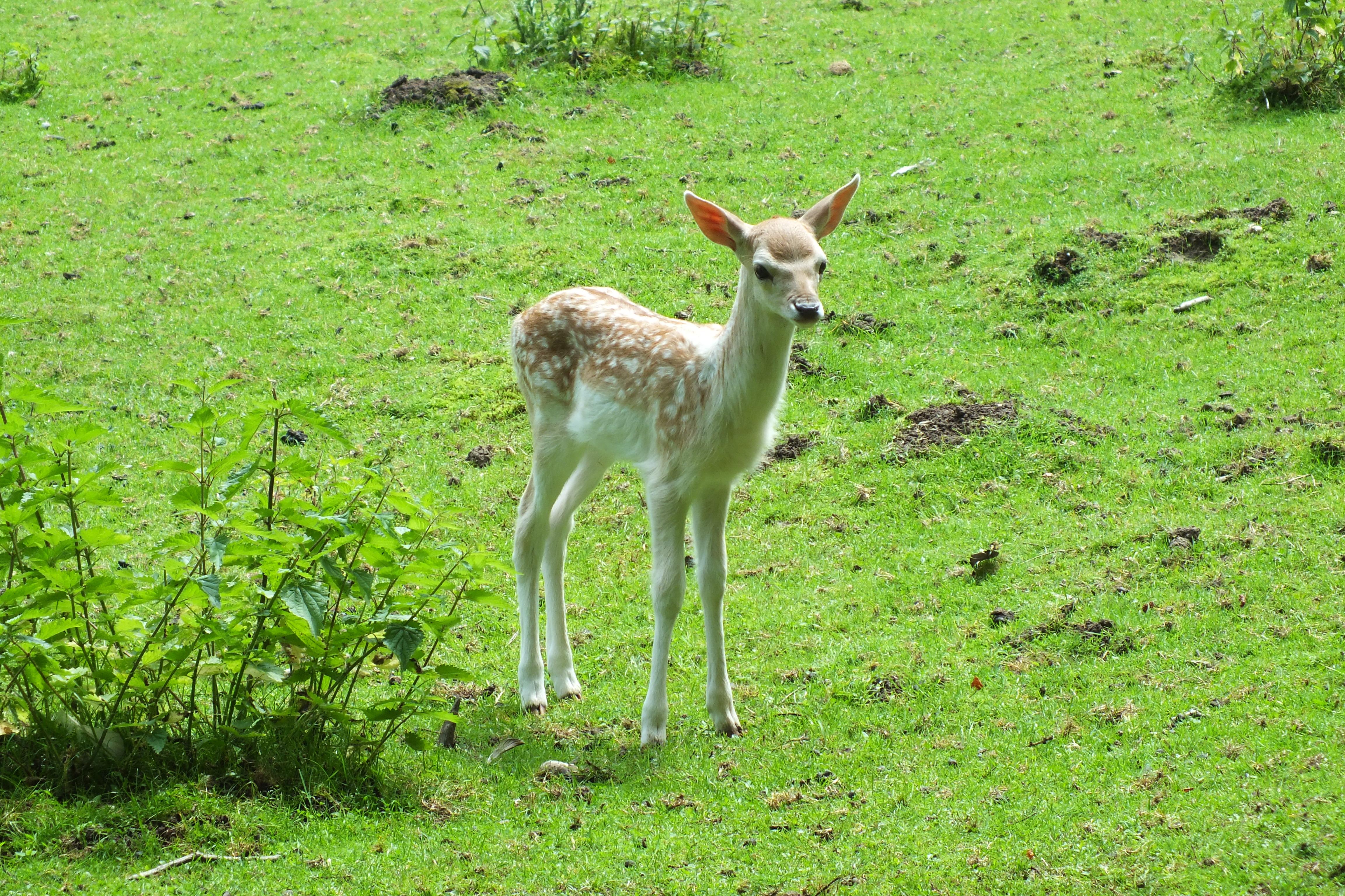 Baby deer, Animal, Deer, Small, Wild, HQ Photo