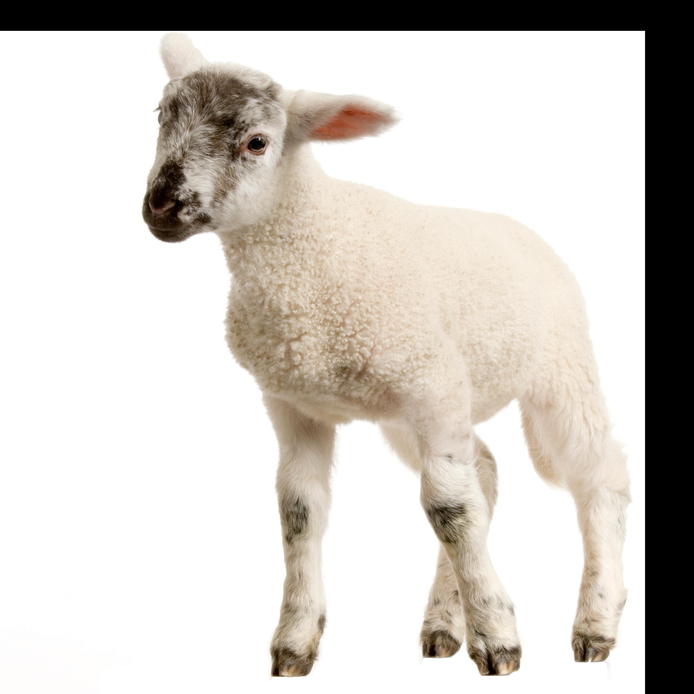 Baby Lamb PNG Image - PurePNG | Free transparent CC0 PNG Image Library