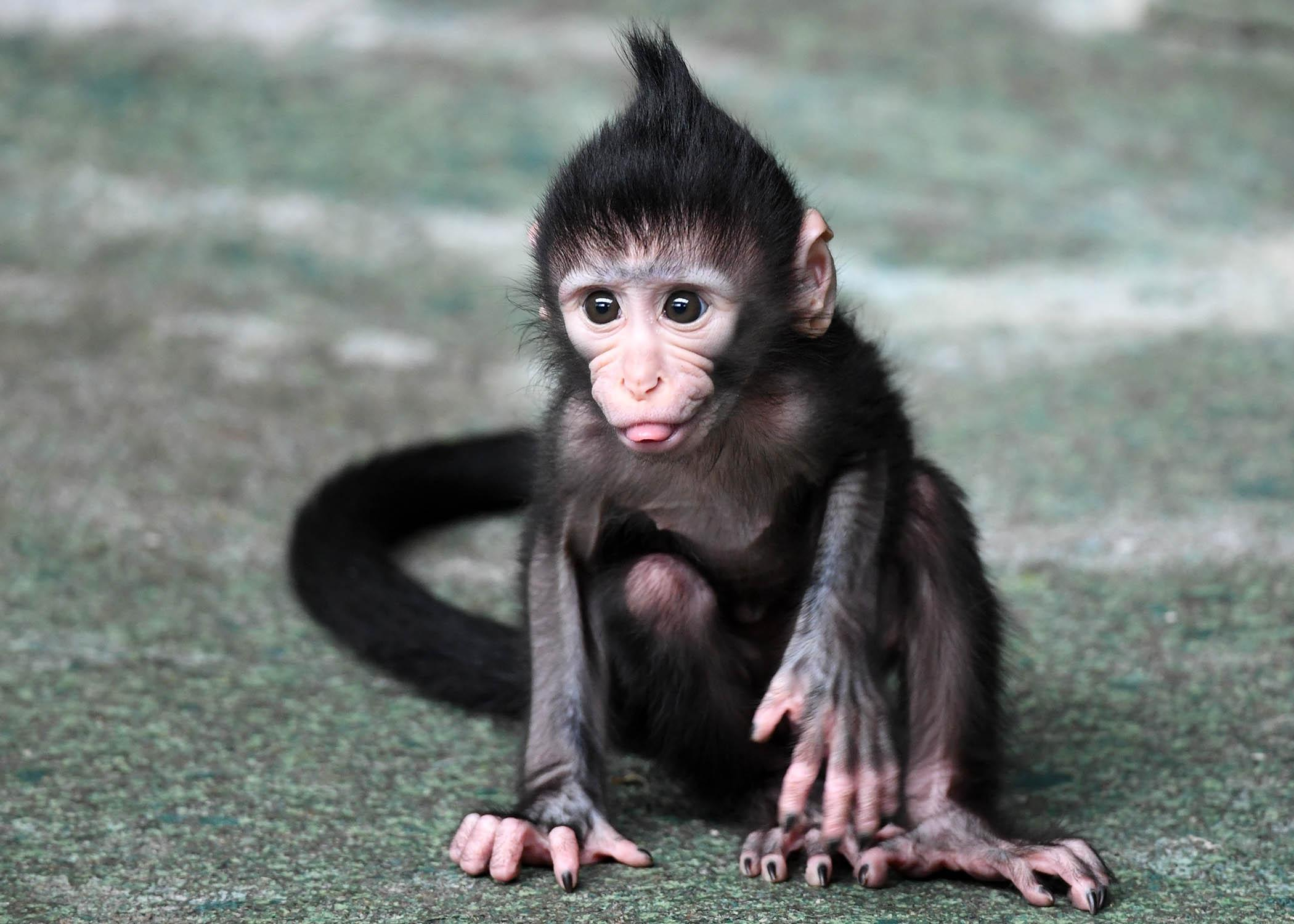 Baby Monkey Born on Fourth of July at Brookfield Zoo | Chicago ...