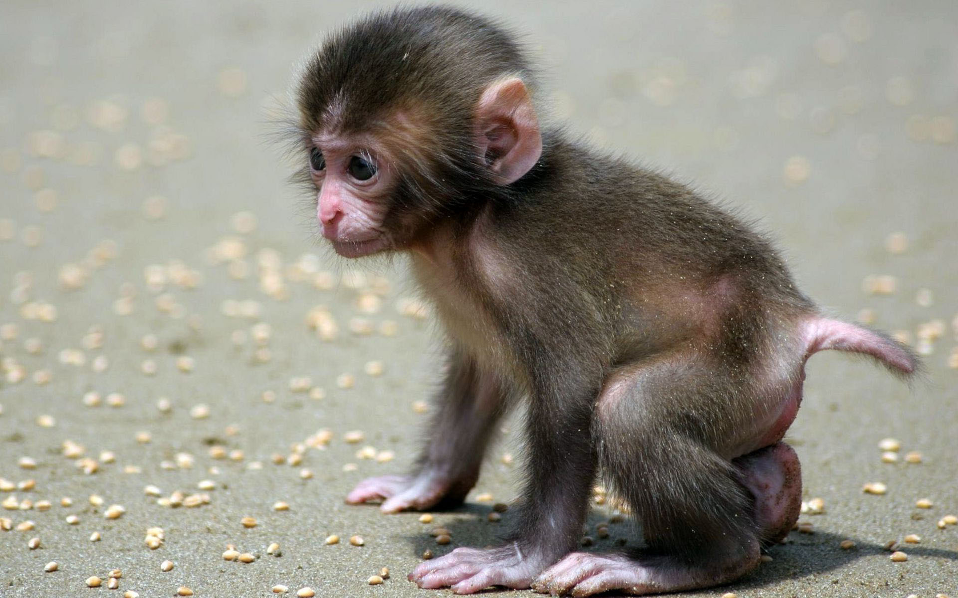 Baby Monkey HD Wallpaper, Background Images