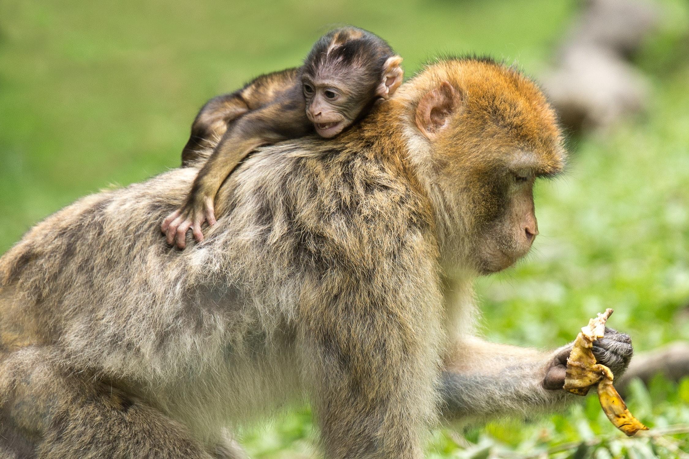 Baby monkey hanging at the back off adult monkey photo