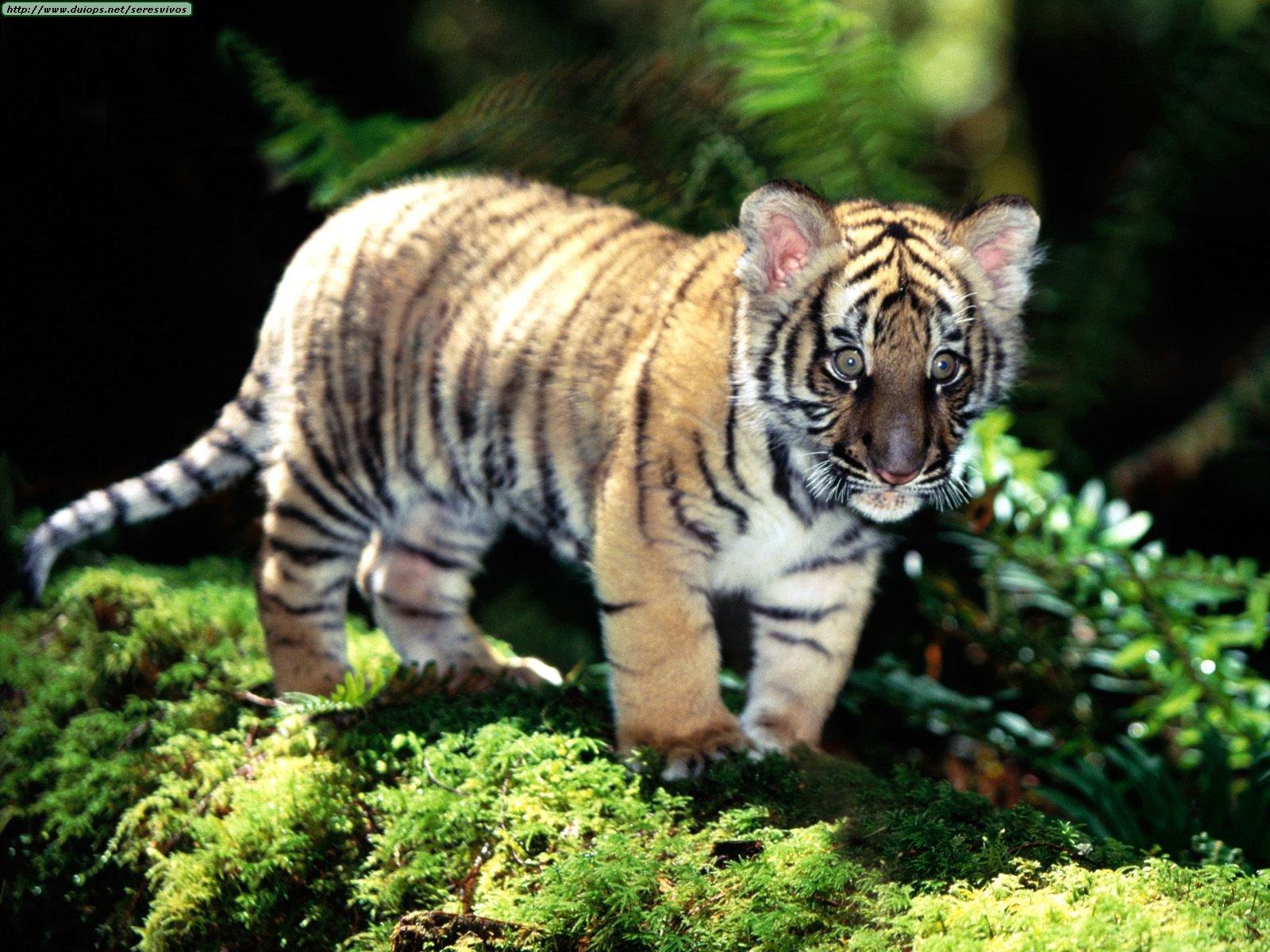 Baby siberian tiger photo