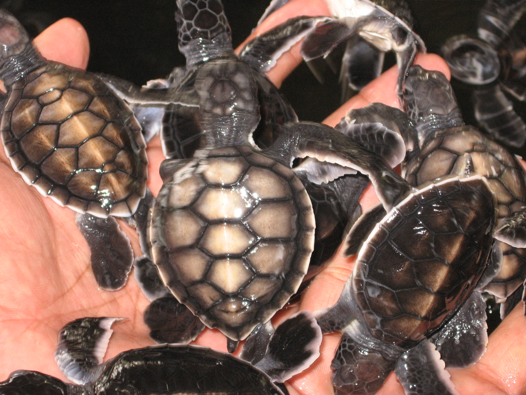 Baby Turtles, Animals, Baby, Beaks, Carapace, HQ Photo