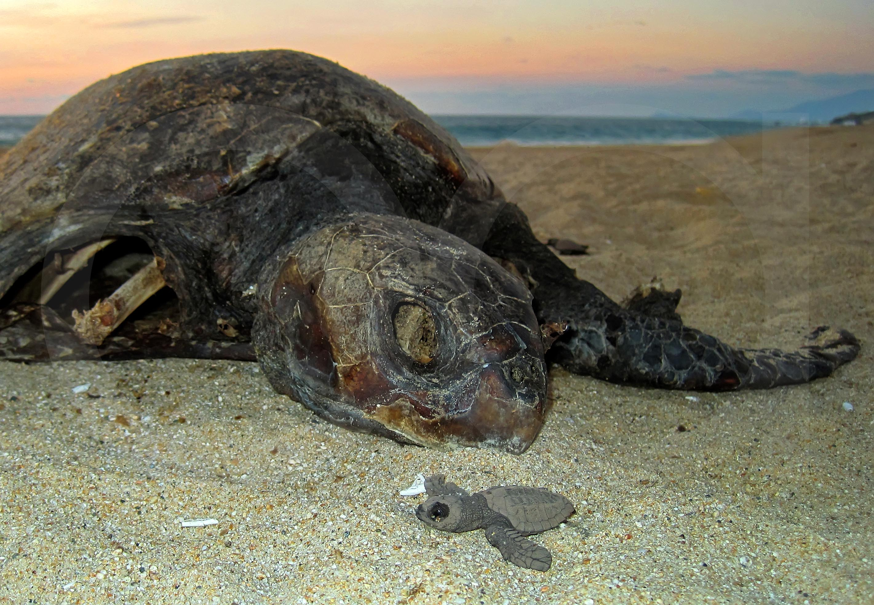 Puerto Vallarta´s Sea Turtles | The Not-So Secret Life of the Olive ...