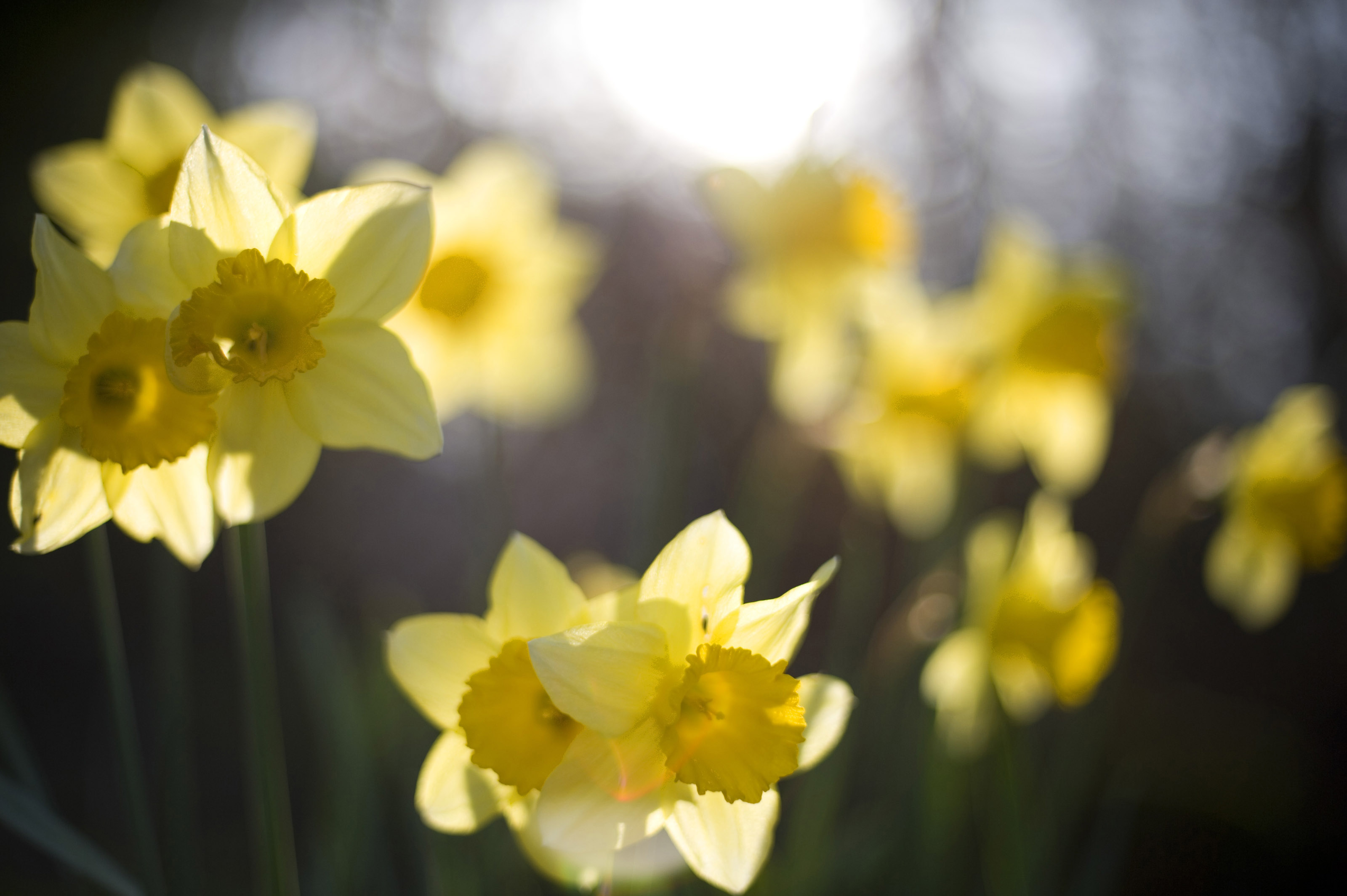 Backlit yellow daffodils-4057 | Stockarch Free Stock Photos