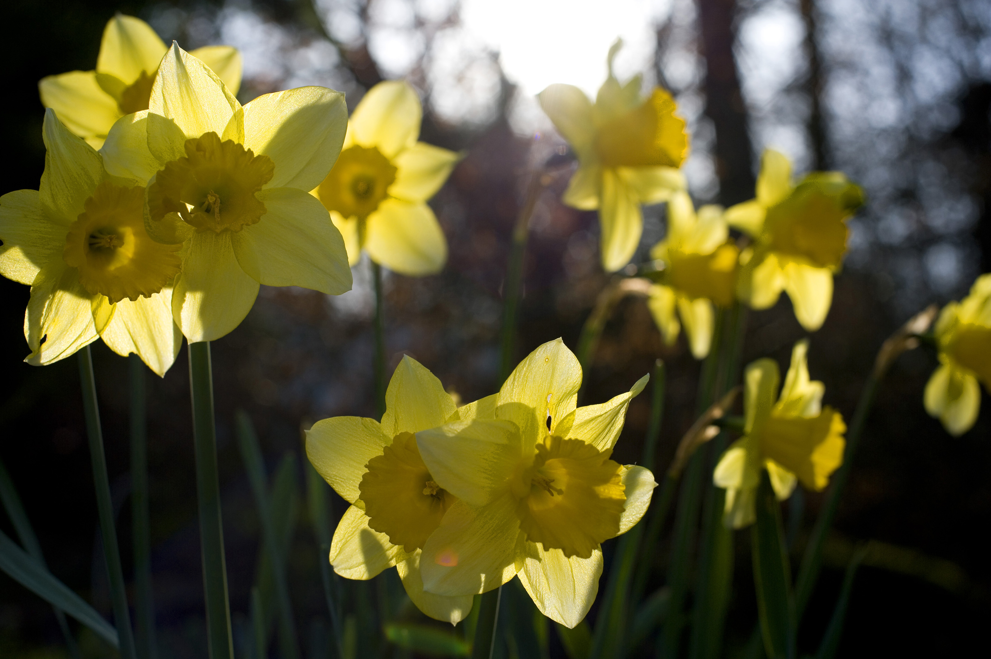 Backlit yellow daffodils-4236 | Stockarch Free Stock Photos