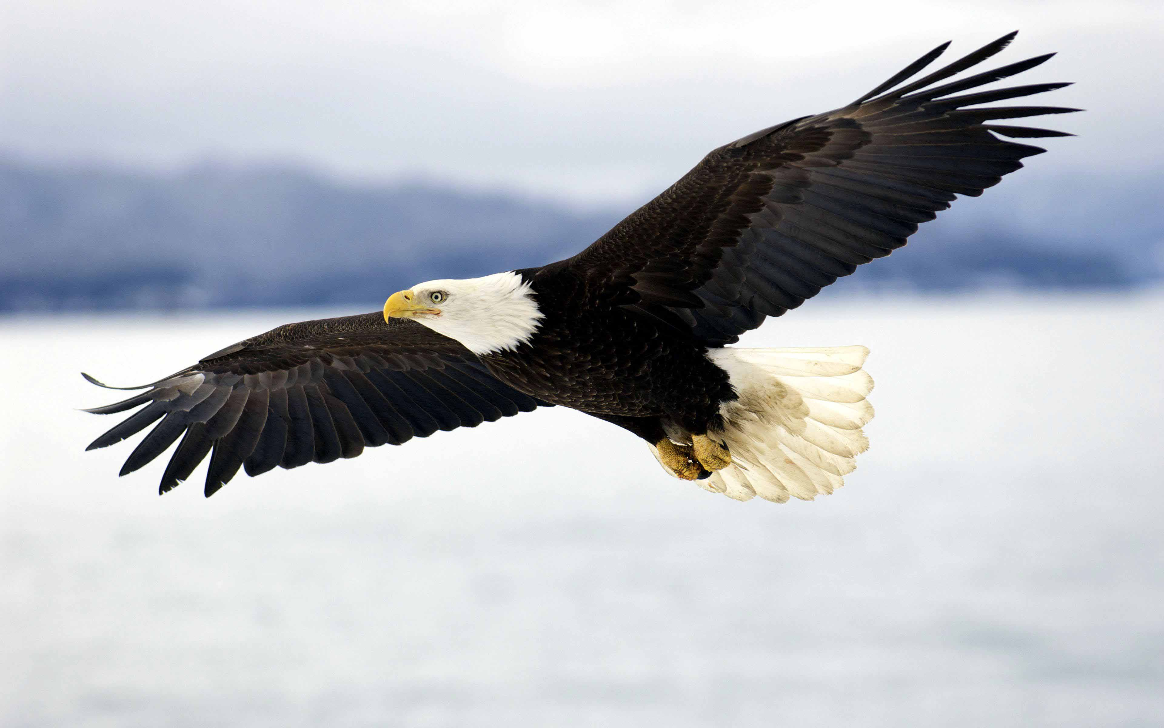 Free Photo Bald Eagle Flying Takeoff Tree Wild Free Download