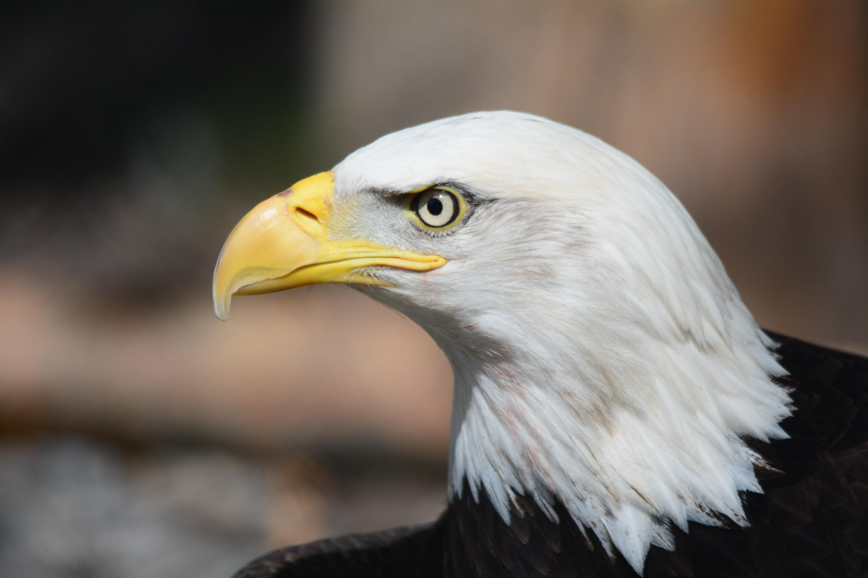 Bald Eagle in Macro Photography, Animal, Animal photography, Bald eagle, Bird, HQ Photo