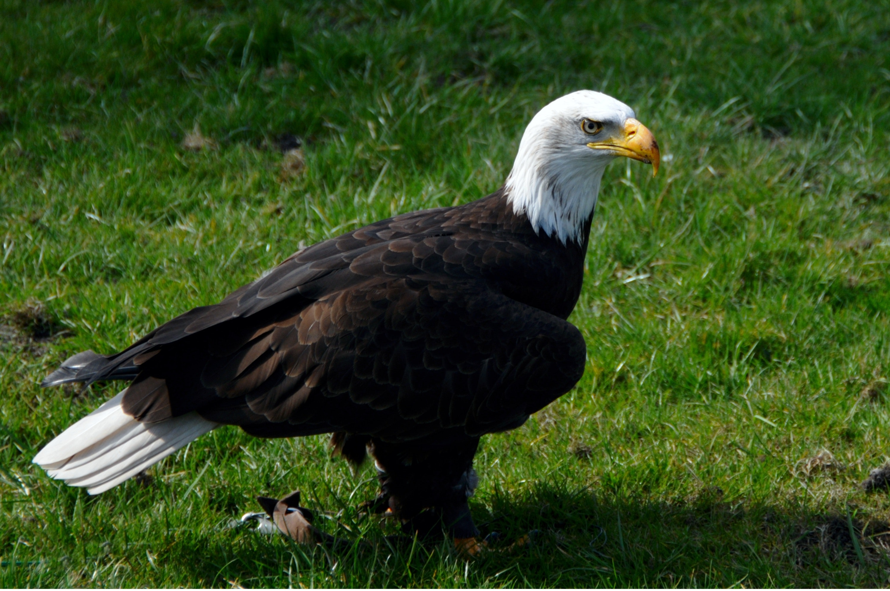 Bald eagle on green grass photo