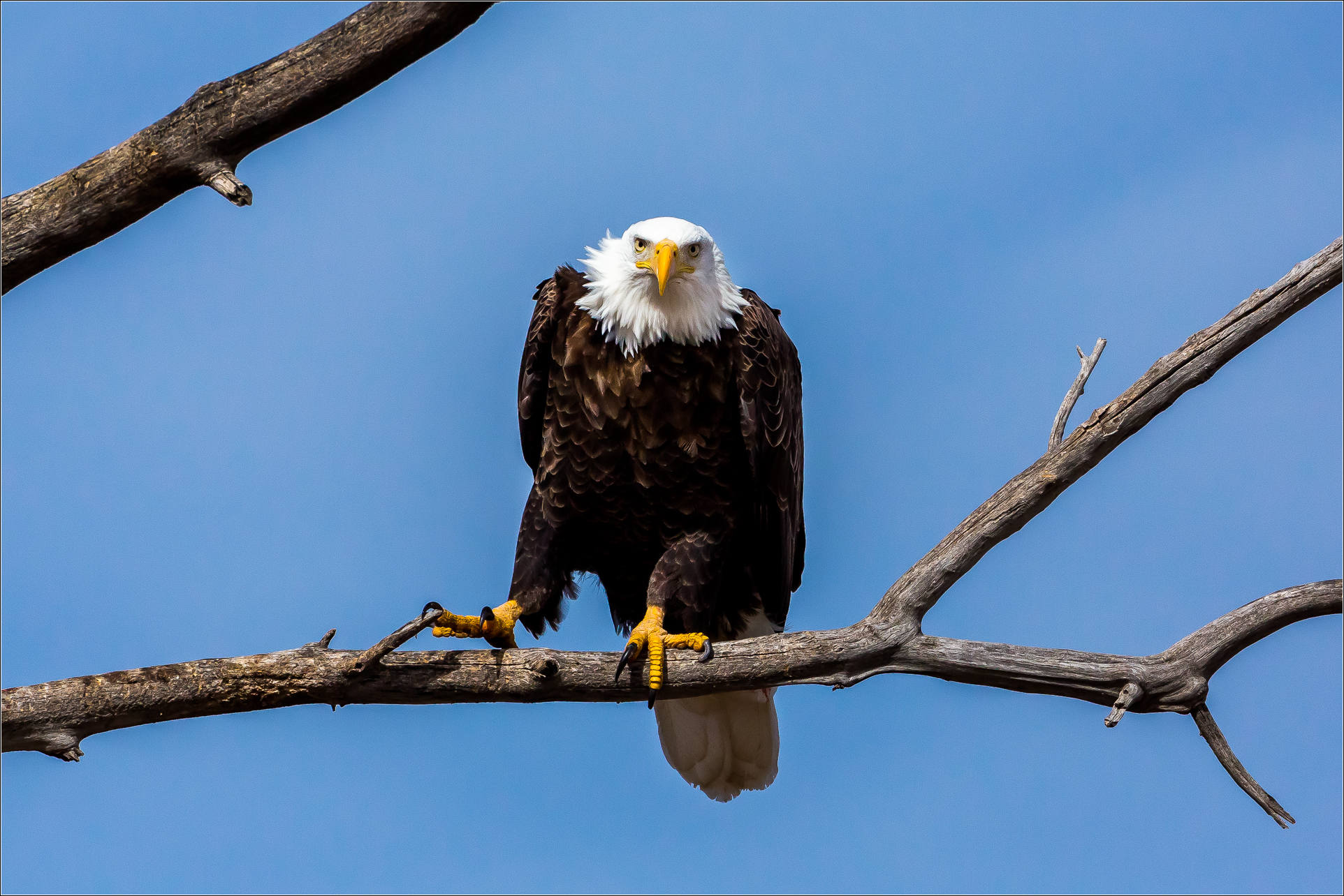 Bald eagle on the branch photo