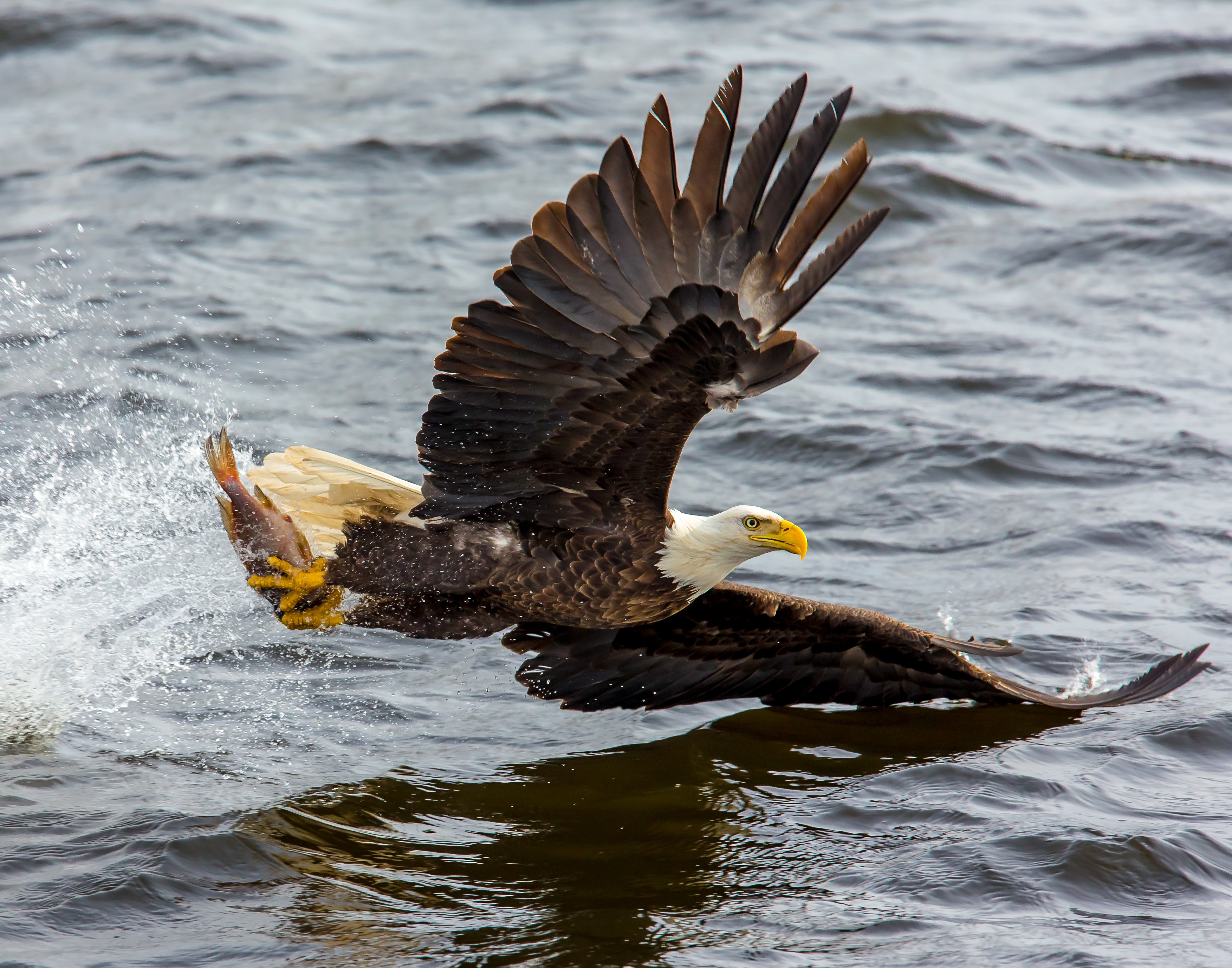 Bald eagle over the body of water photo