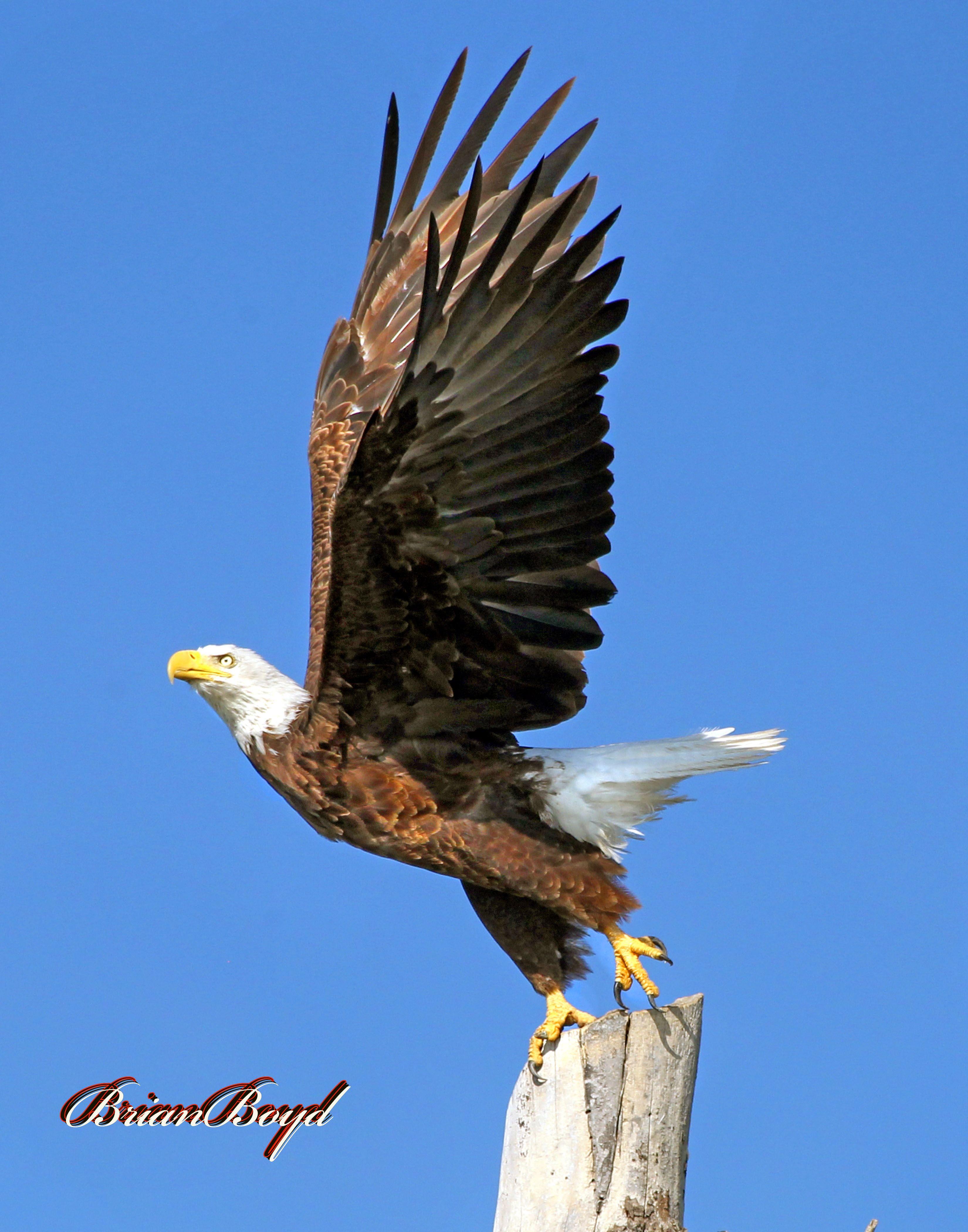 Bald eagle takingoff photo