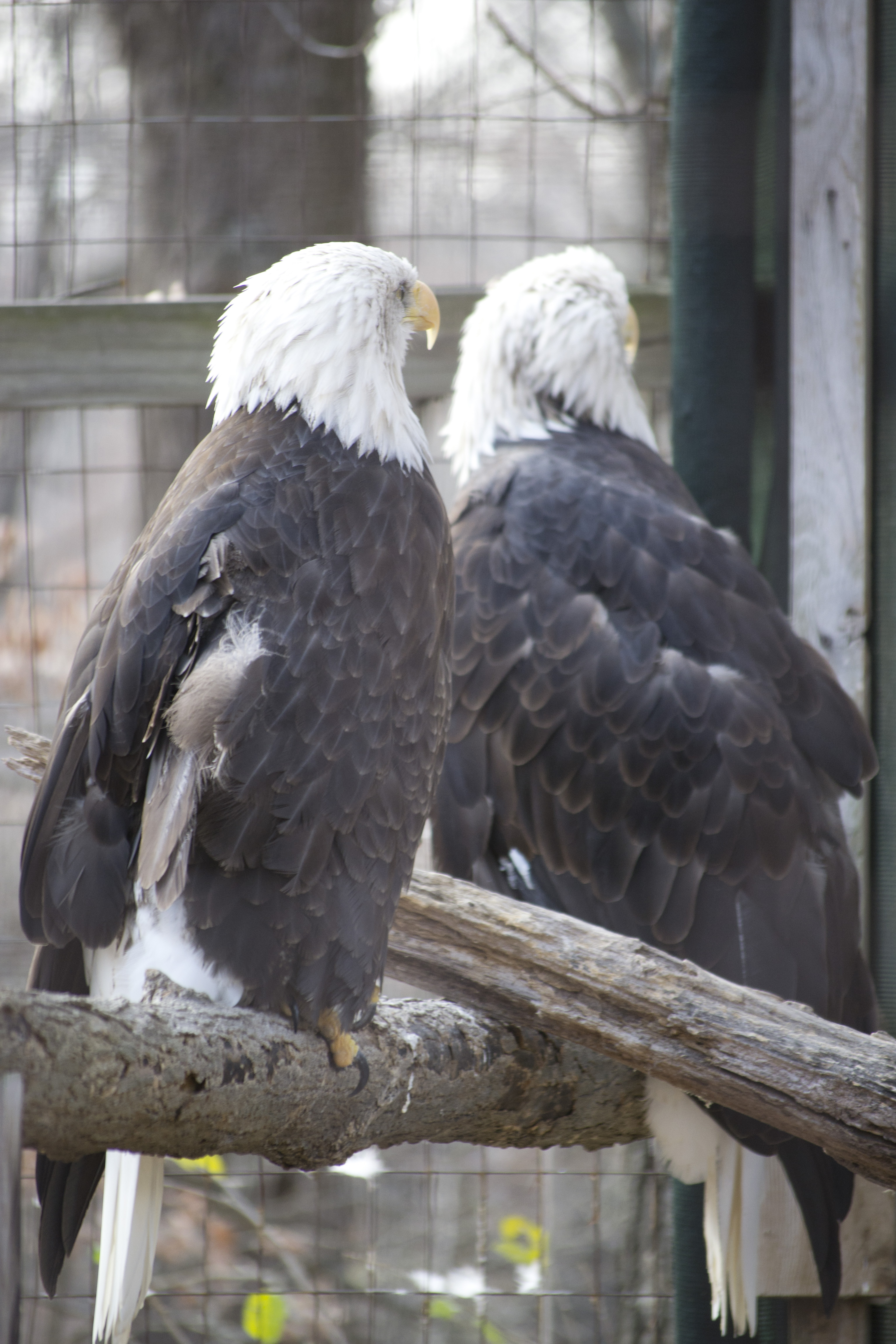 Free photo: Bald Eagles - Eagles, Bald - Free Download - Jooinn