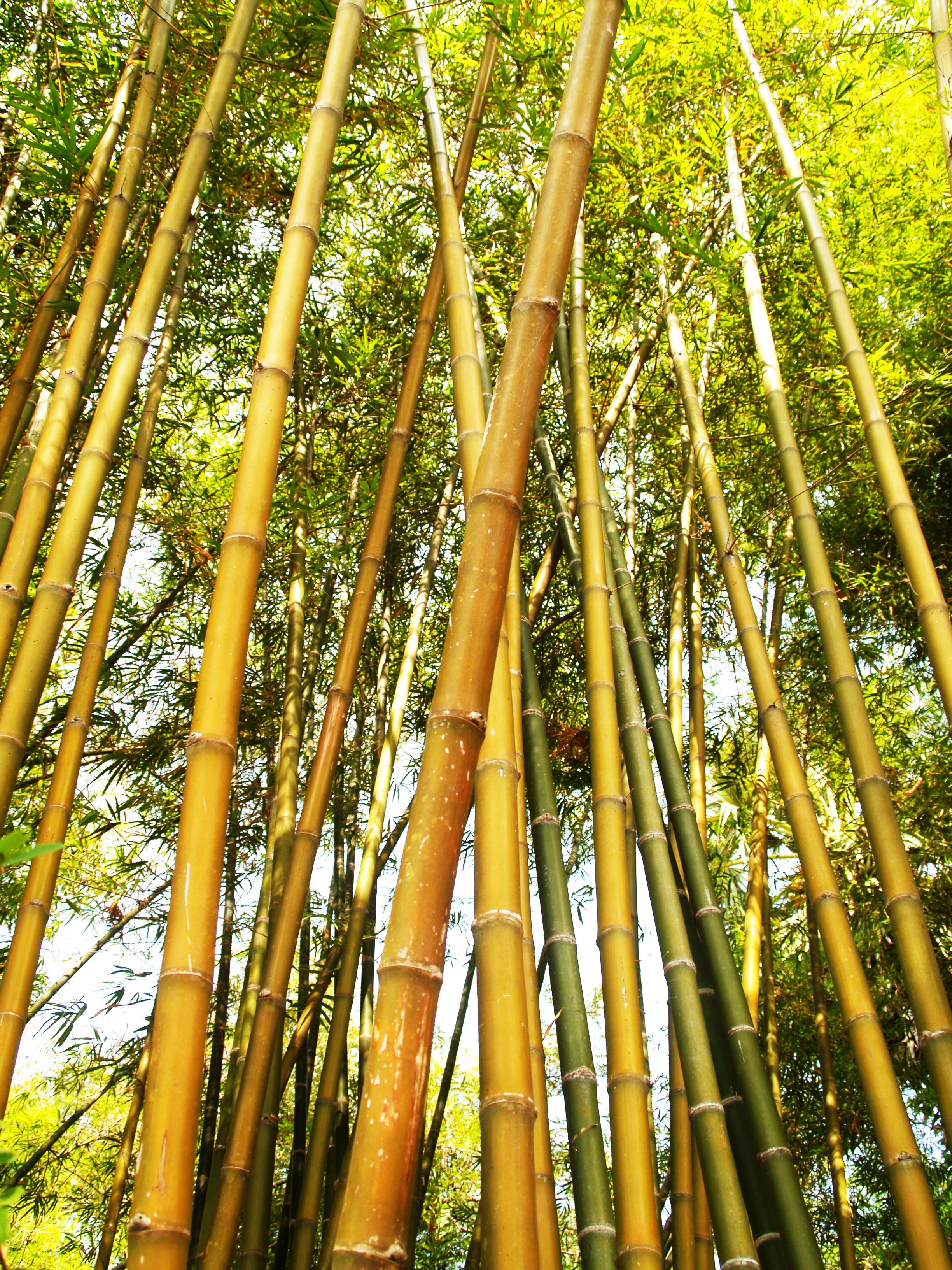 Bamboo Tree during Daytime, Asia, Leaf, Tropical, Plant, HQ Photo