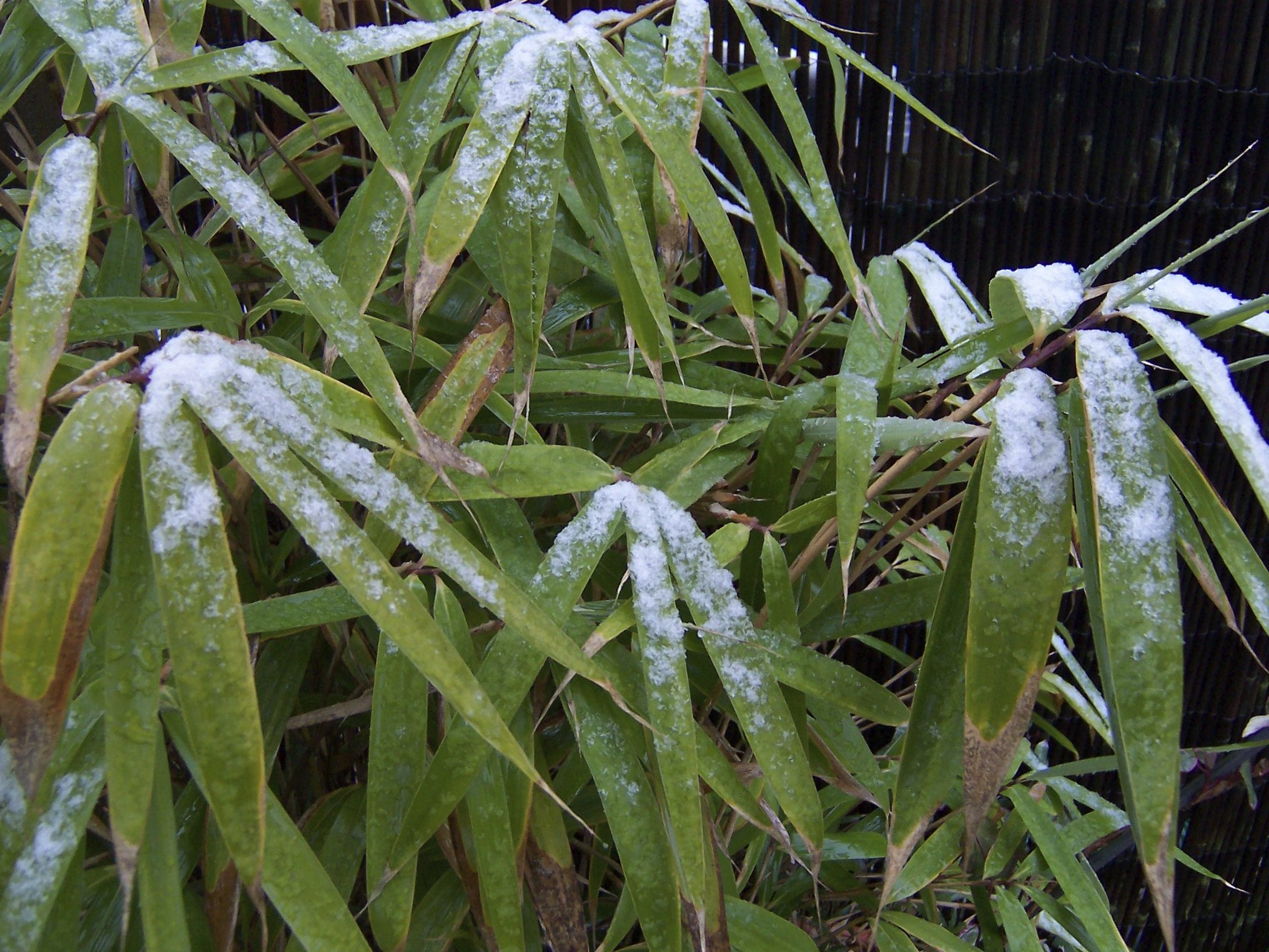 Bamboo Plant Problems: Common Diseases In Bamboo Plants