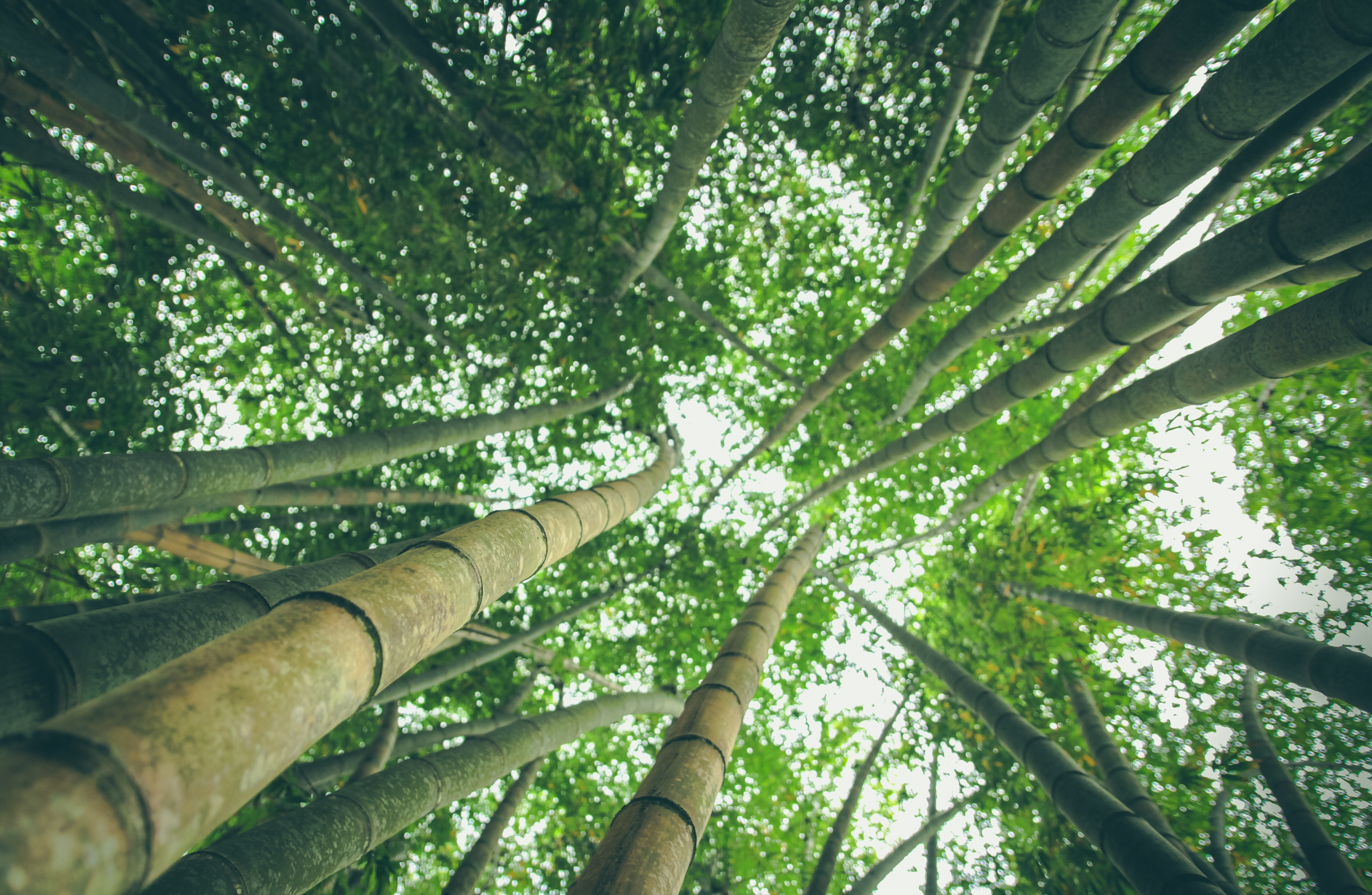 Bamboos, Bamboo, Forest, Green, Height, HQ Photo