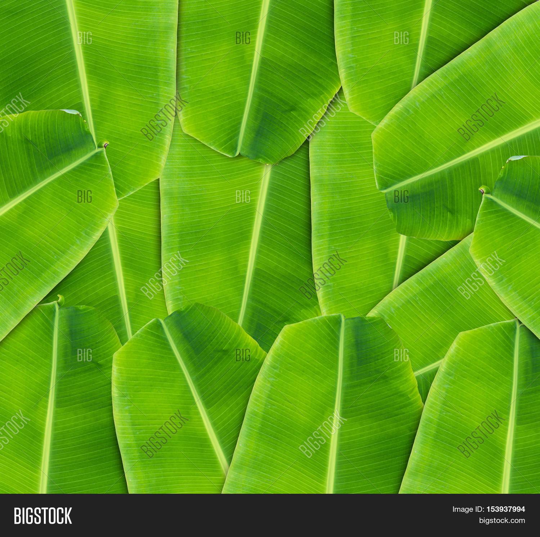 Banana Leaf Background Image & Photo (Free Trial)   Bigstock