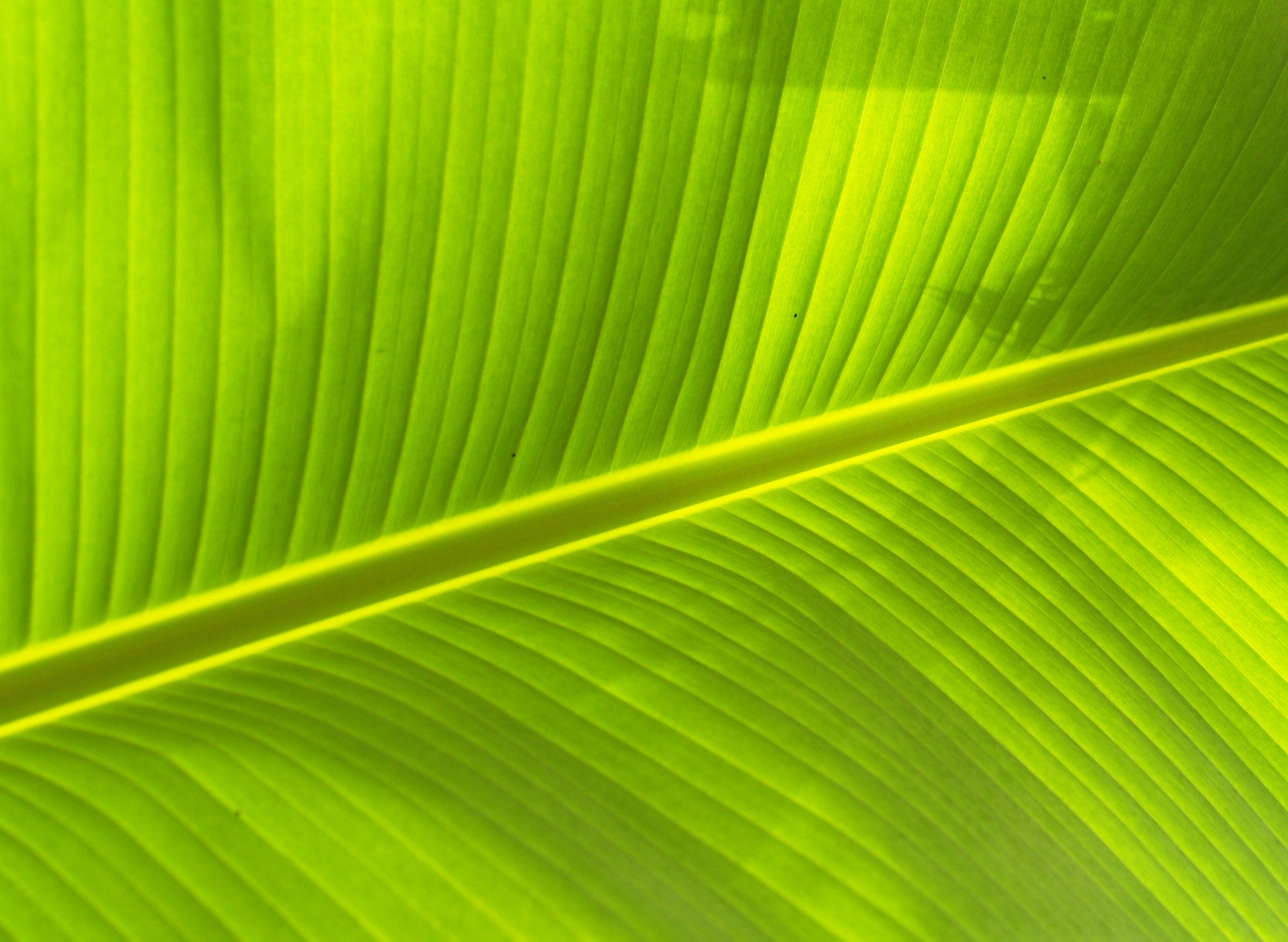 Free stock photo of background, banana leaves, element