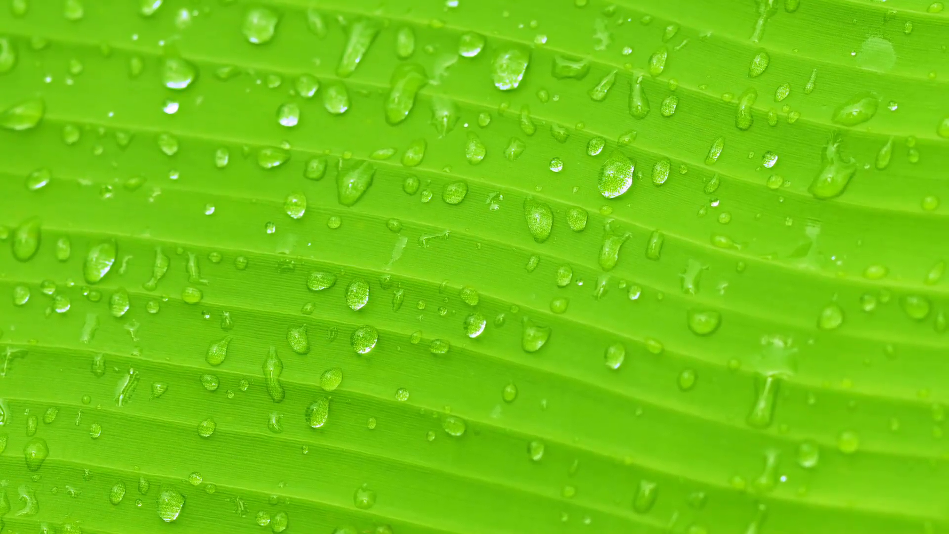 Surface of green banana leaf with drops of water - nature background ...