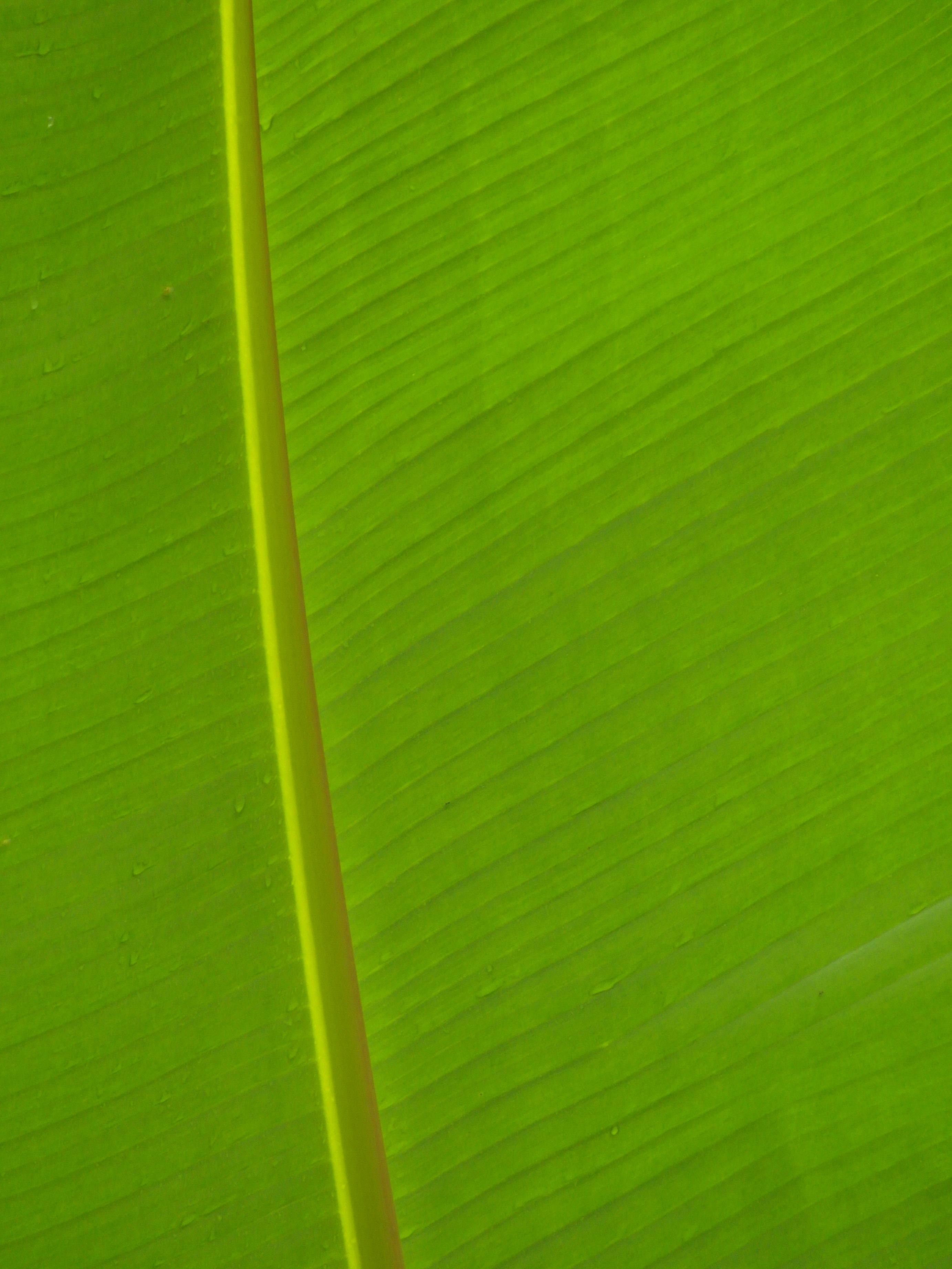 Banana Leaf Background, Abstract, Leaf, Life, Light, HQ Photo