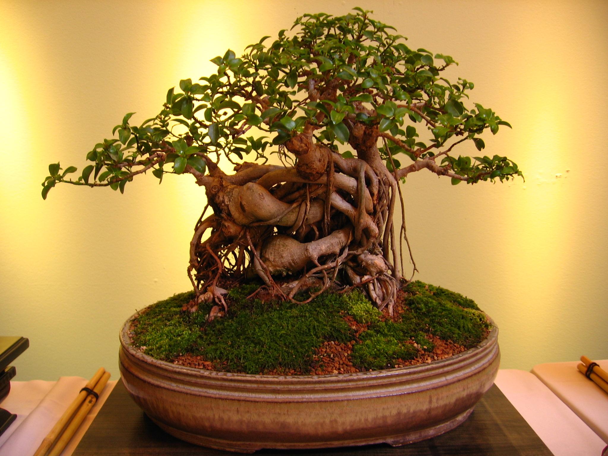 10 Things To Avoid When Growing Your Bonsai Tree   Bonsai Tree Gardener